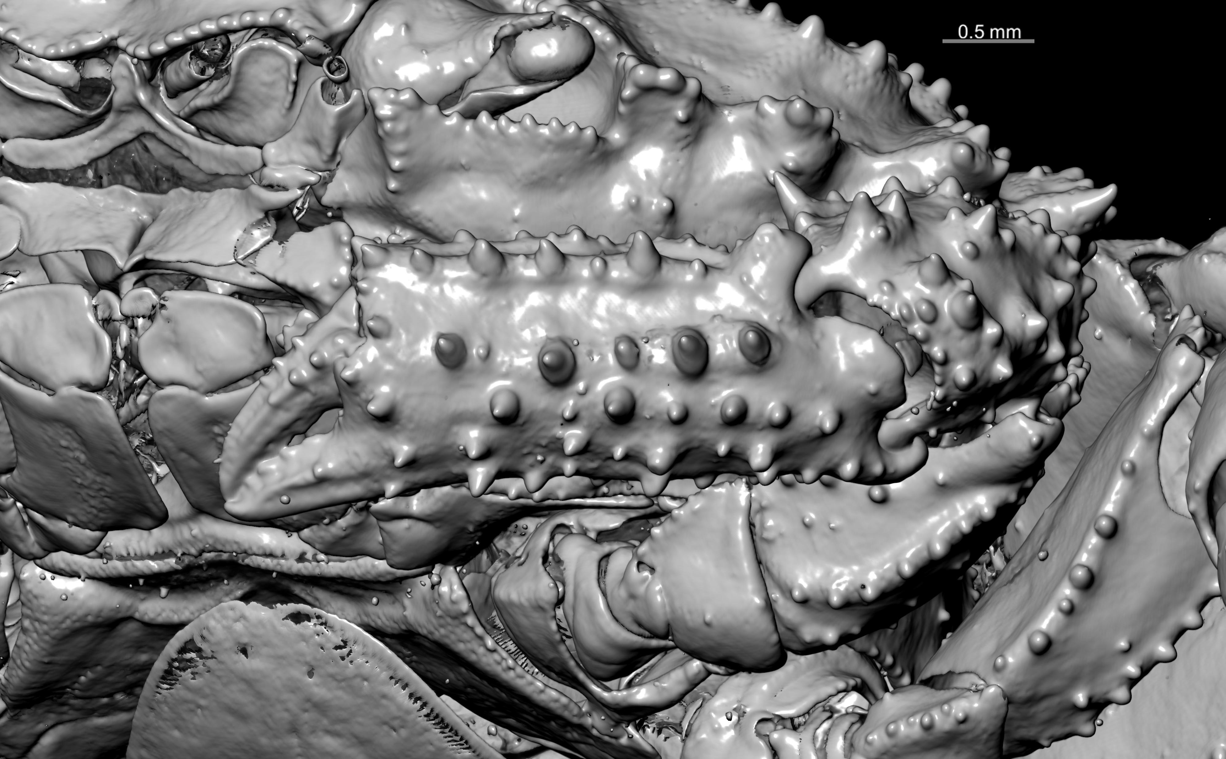 BE-RBINS-INV HOLOTYPE FEMALE INV.113700 Parapilumnus leopoldi CHELA.jpg
