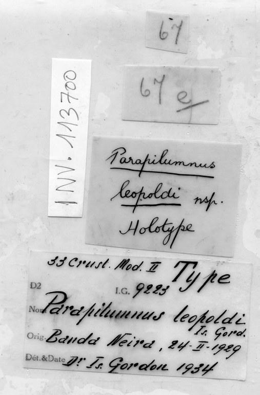 BE-RBINS-INV HOLOTYPE FEMALE INV.113700 Parapilumnus leopoldi LABELS.jpg