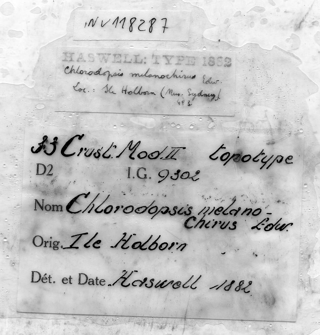Pilodius nigrocrinitus Stimpson, 1879