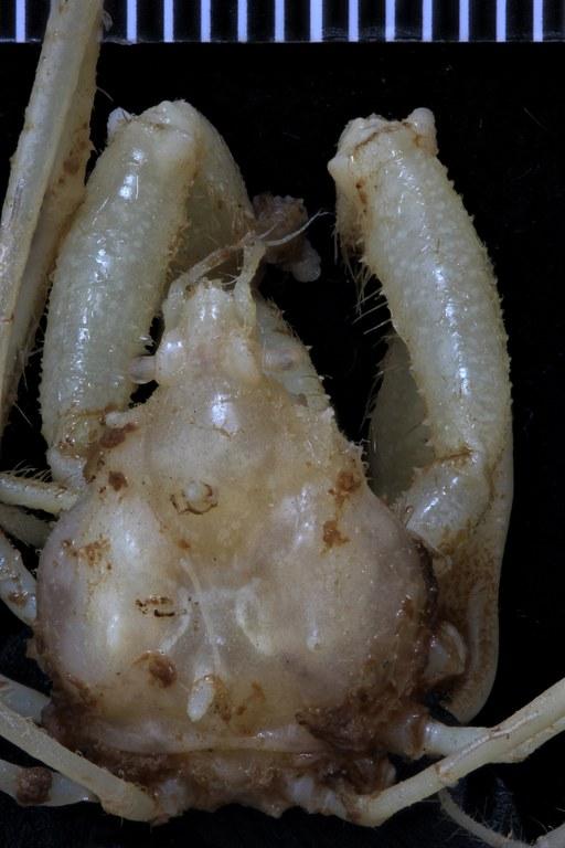 BE-RBINS-INV SYNTYPE MALE INV.116888 Podochela monodi dorsal.jpg