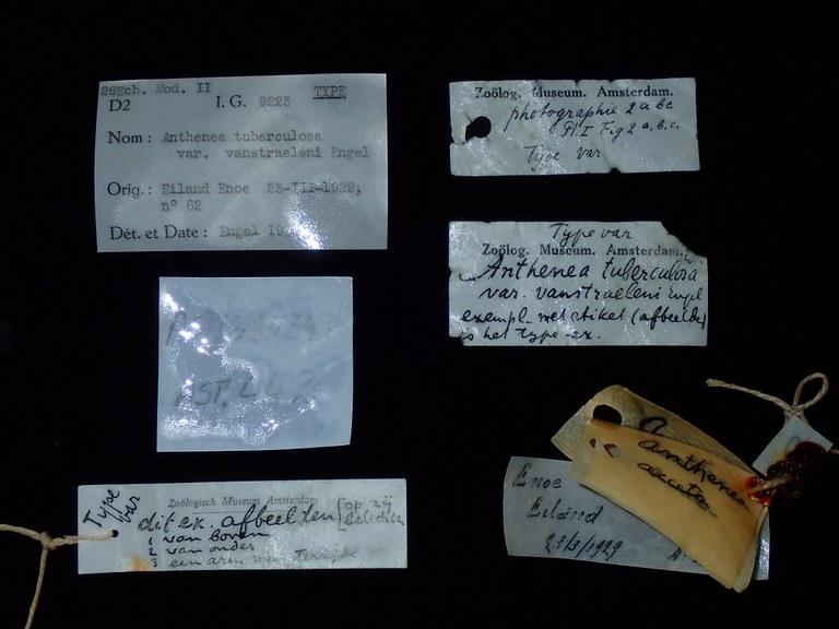 BE-RBINS-INV HOLOTYPE AST.442 Anthenea tuberculosa var. vanstraeleni Labels.jpg