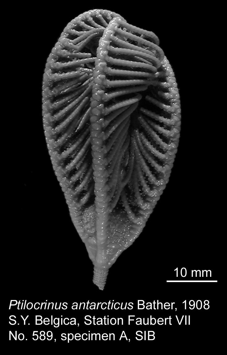 SIB Ptilocrinus antarcticus 01.jpg
