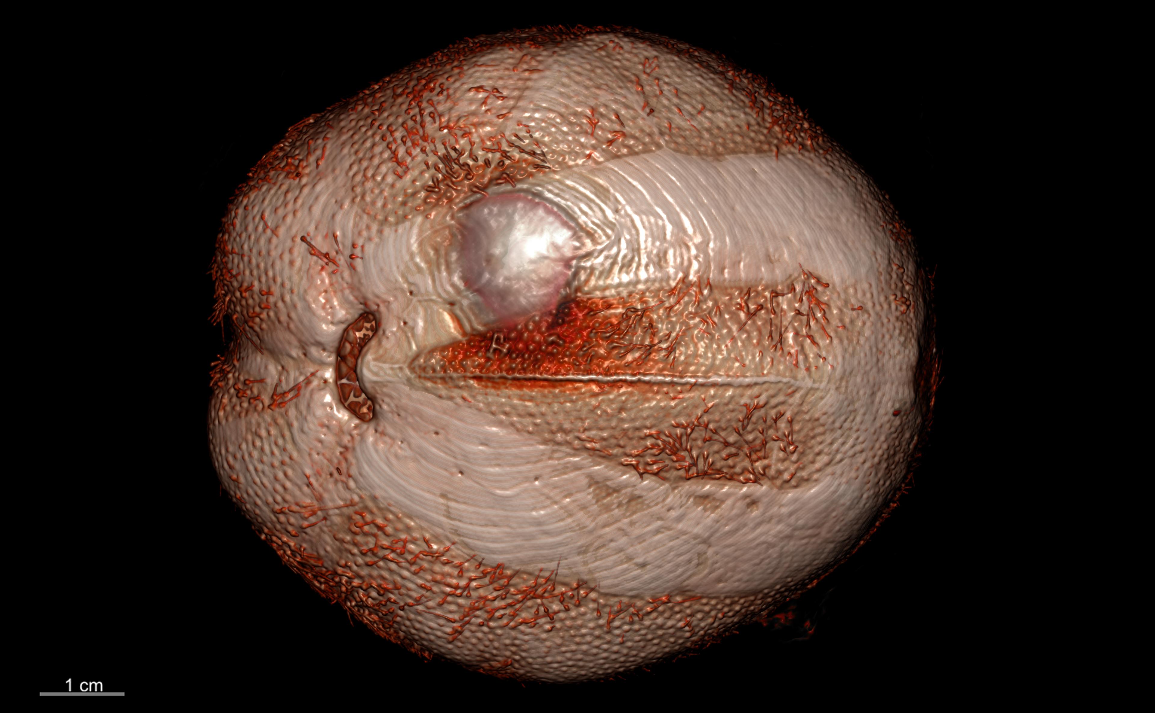 BE-RBINS-INV PARALECTOTYPE ECH.491 Brissopsis caparti ventral habitus.jpg