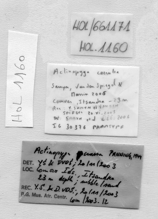 BE-RBINS-INV PARATYPE HOL.1160 Actynopyga caerulea labels.jpg