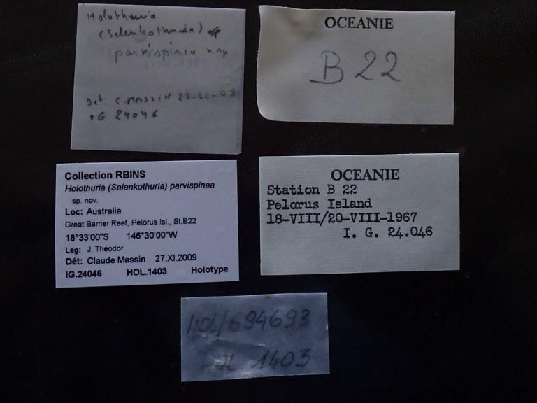 BE-RBINS-INV HOLOTYPE Holothuria (Selenkothuria) parvispinea LABELS.JPG