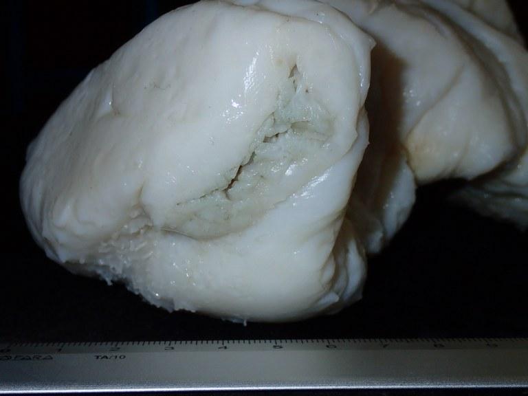 BE-RBINS-INV HOLOTYPE HOL.969 Stichopus ocellatus Cephalic region (facial).jpg