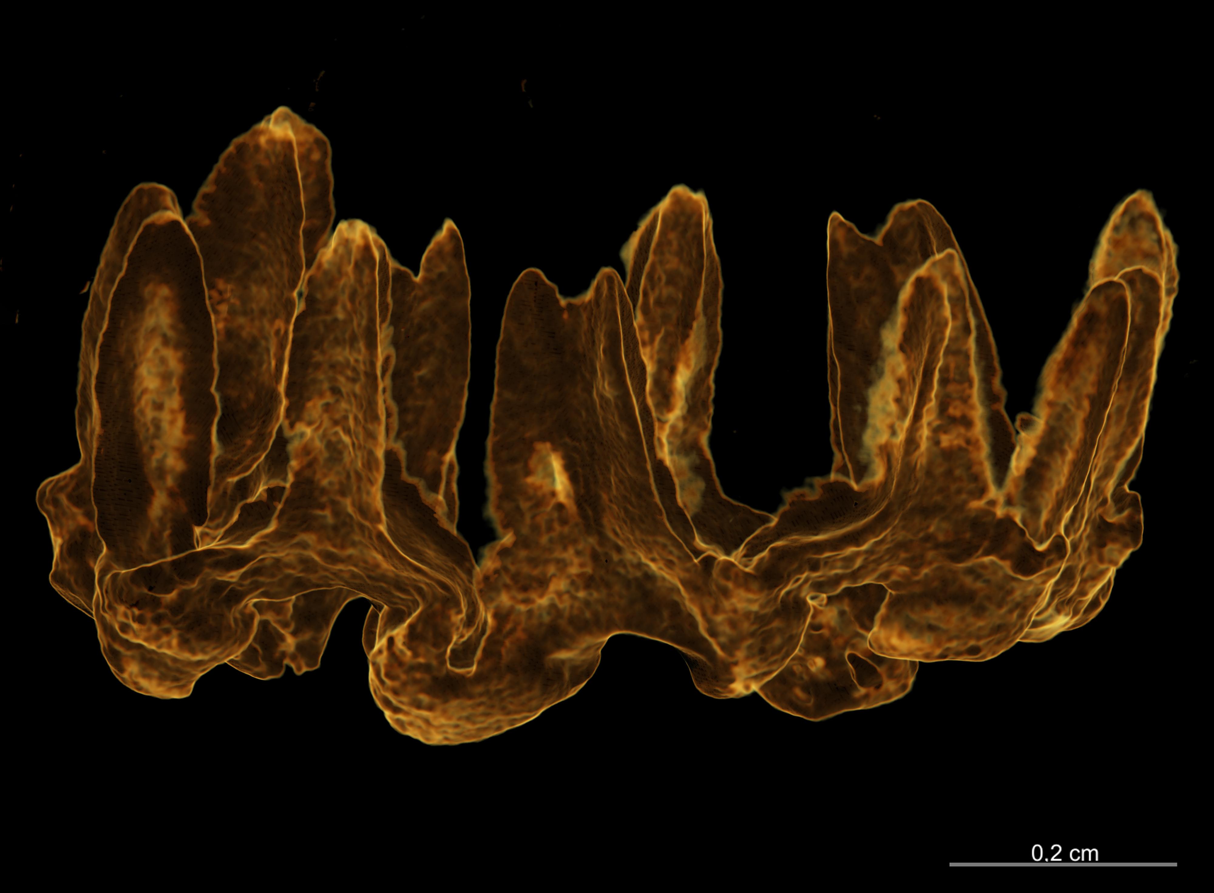BE-RBINS-INV HOLOTYPE HOL.274 Trachythyone maxima RING LATERAL.jpg