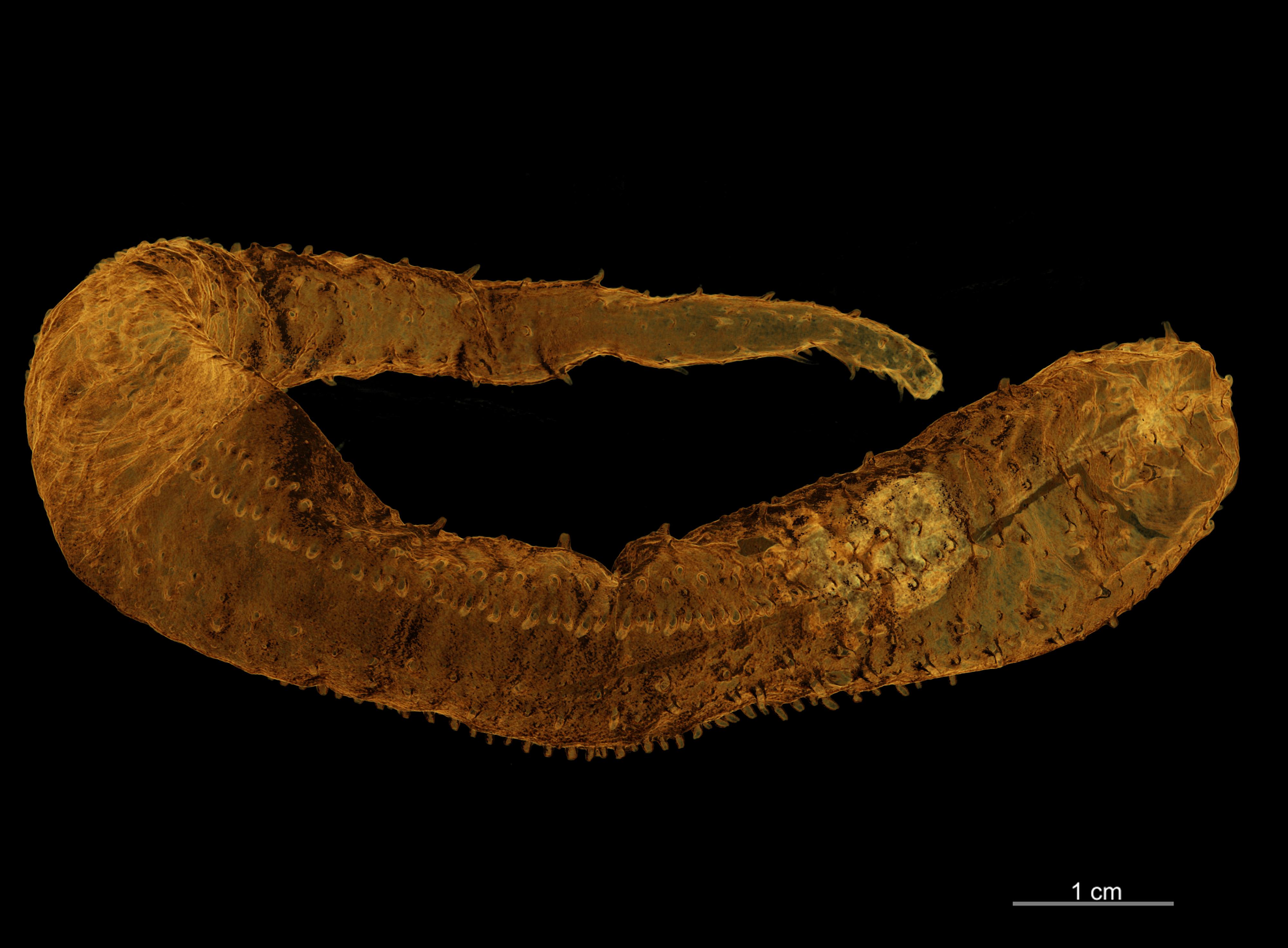 BE-RBINS-INV HOLOTYPE HOL.274 Trachythyone maxima HABITUS.jpg