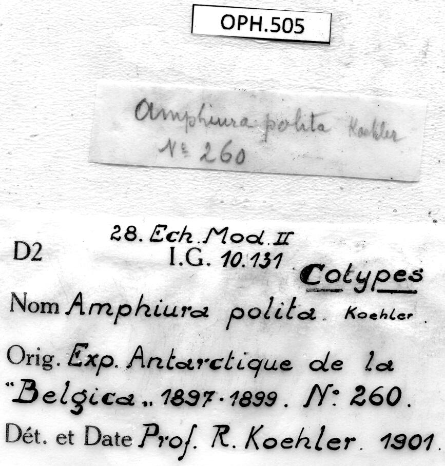 BE-RBINS-INV SYNTYPE OPH.505 Amphiura polita Labels.jpg