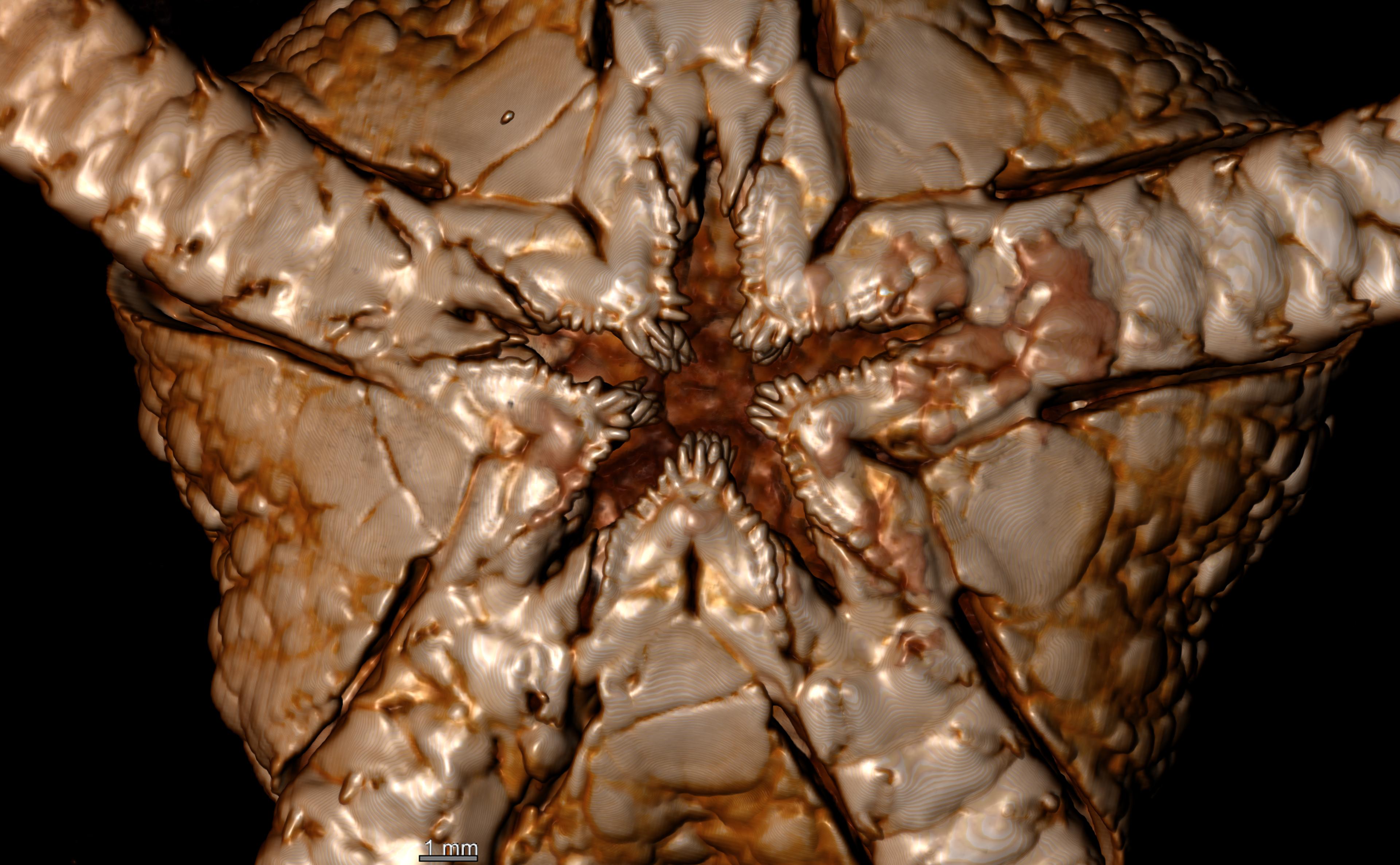 BE-RBINS-INV HOLOTYPE OPH.151 Ophioglypha carinifera ORAL FIELD.jpg