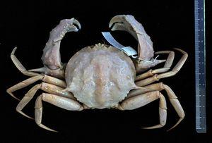 crab.jpeg.jpg