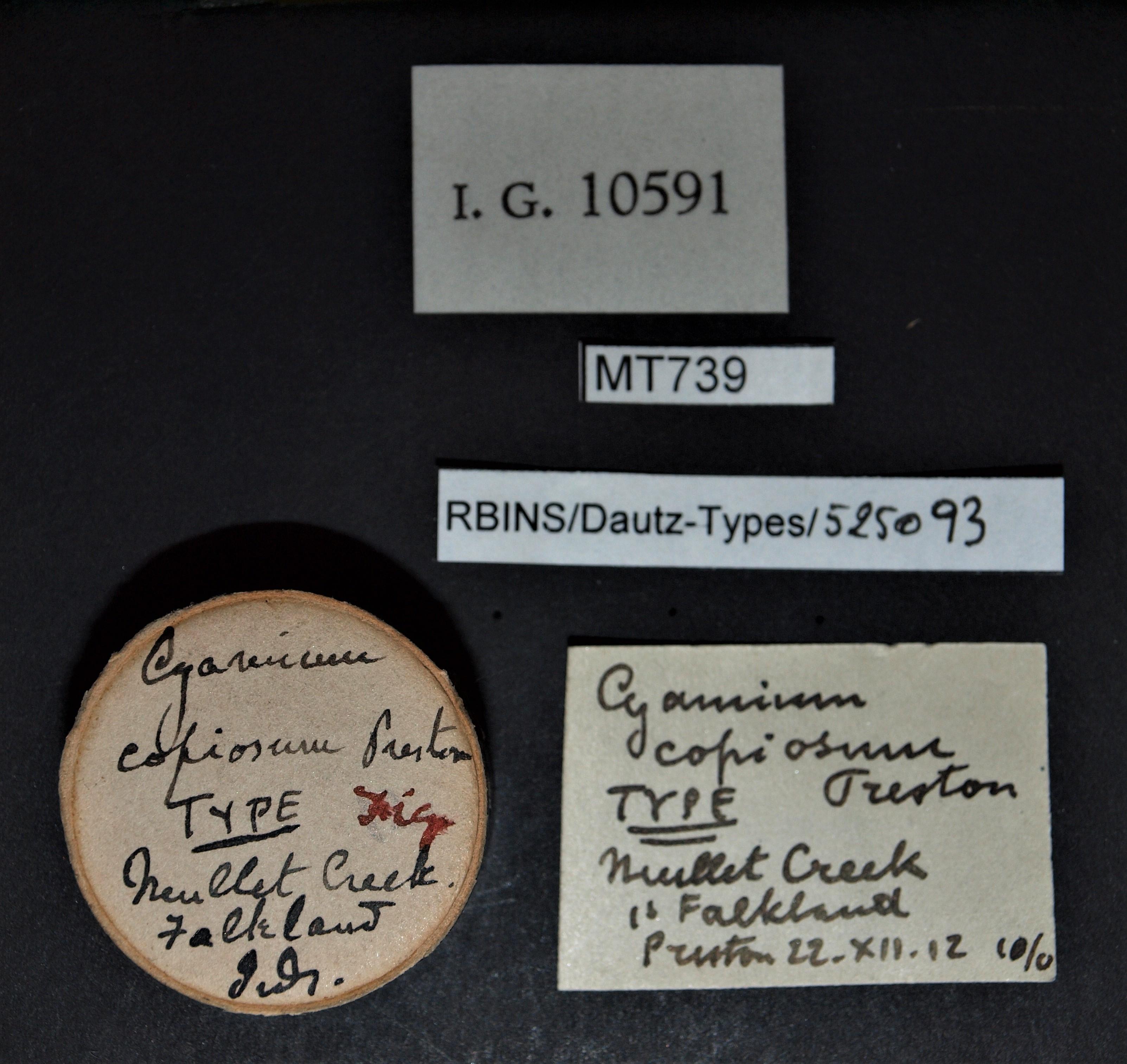 Cyamium copiosum t.JPG