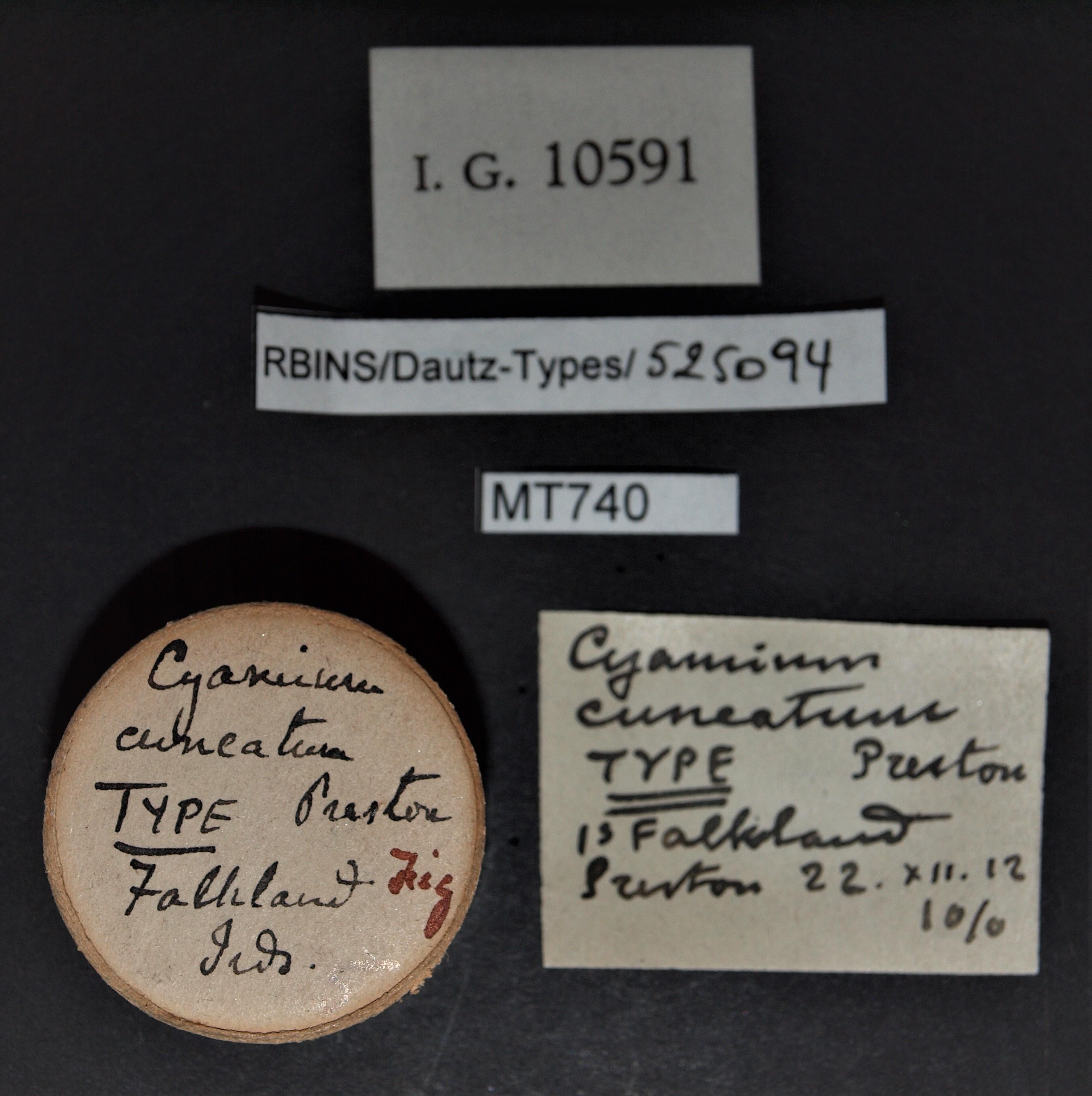 Cyamium cuneatum t.JPG
