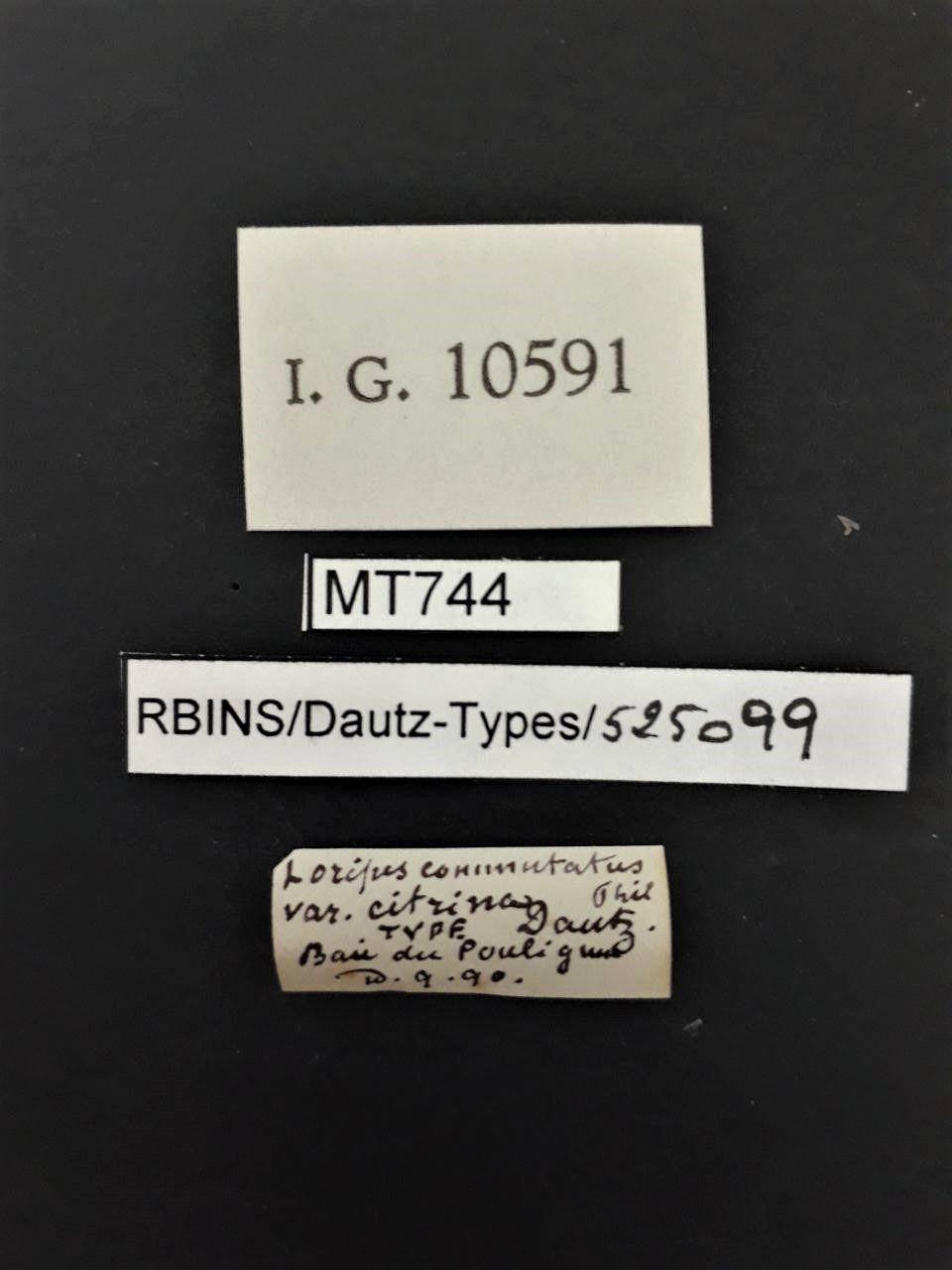 BE-RBINS-INV TYPE MT 744 Loripes commutatus var. cintrina LABELS.jpg