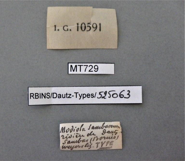 BE-RBINS-INV TYPE MT 729 Modiola sambasensis LABELS.jpg