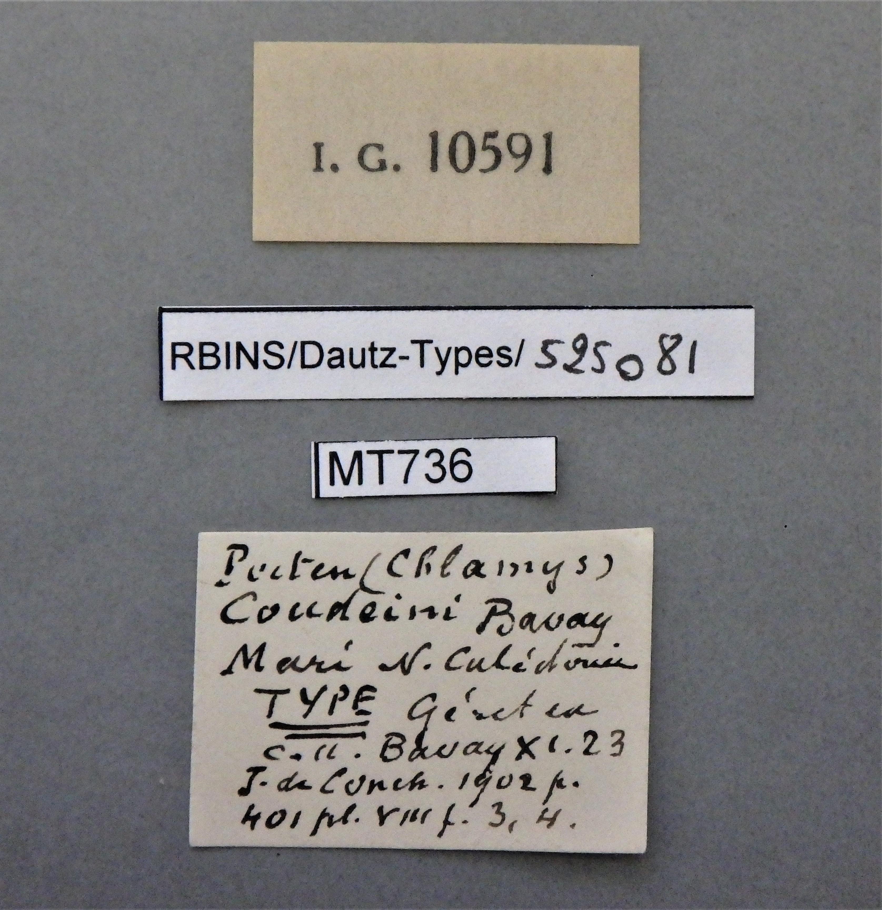 BE-RBINS-INV MT 736 Pecten (Chlamys) coudeini t Lb.jpg
