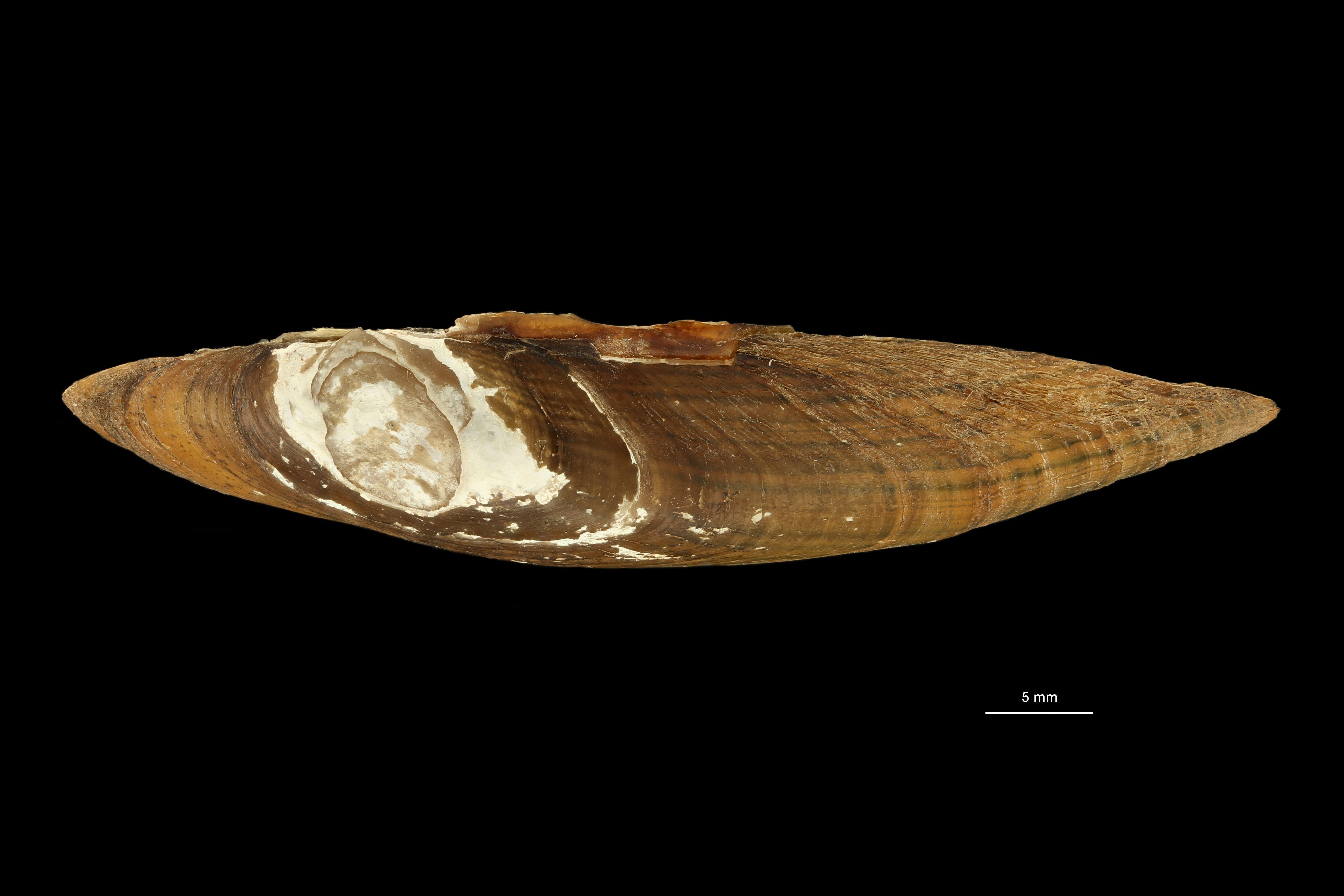 Unio soledadensis (Graphonaias) soledadensis st L.jpg