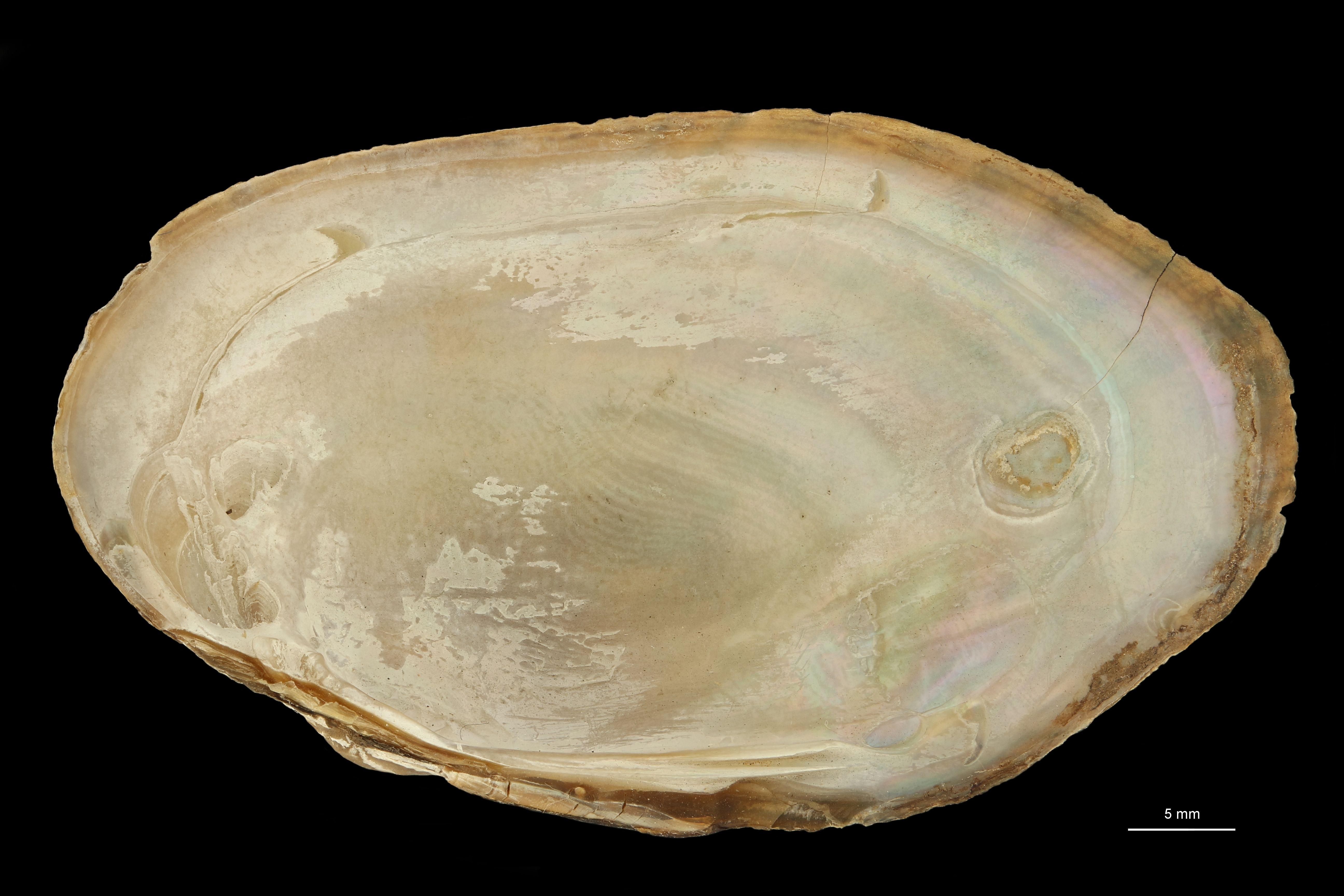 Unio soledadensis (Graphonaias) soledadensis st V.jpg