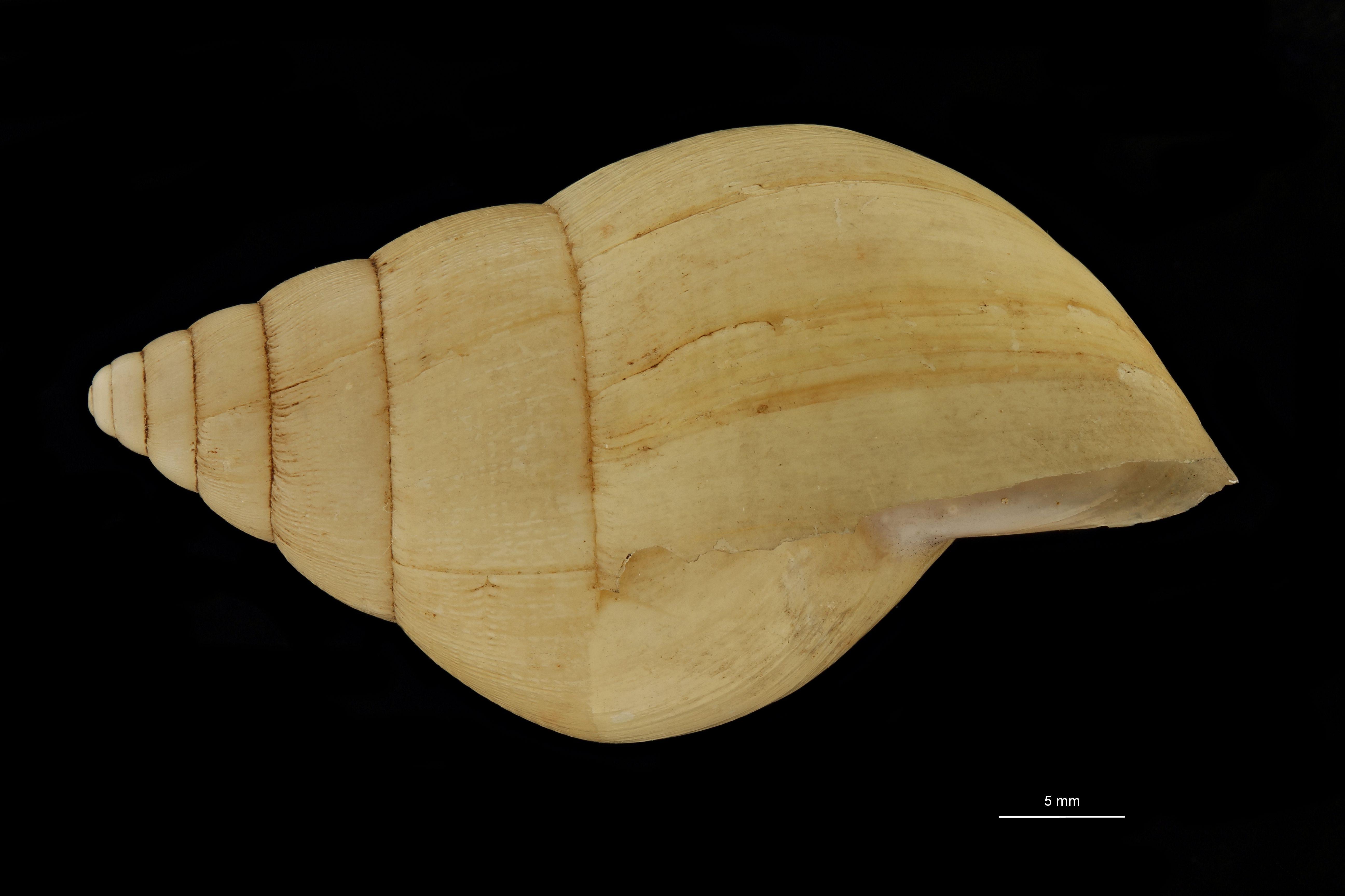 BE-RBINS-INV MT.3674 Limicolaria hidalgoi st L.jpg