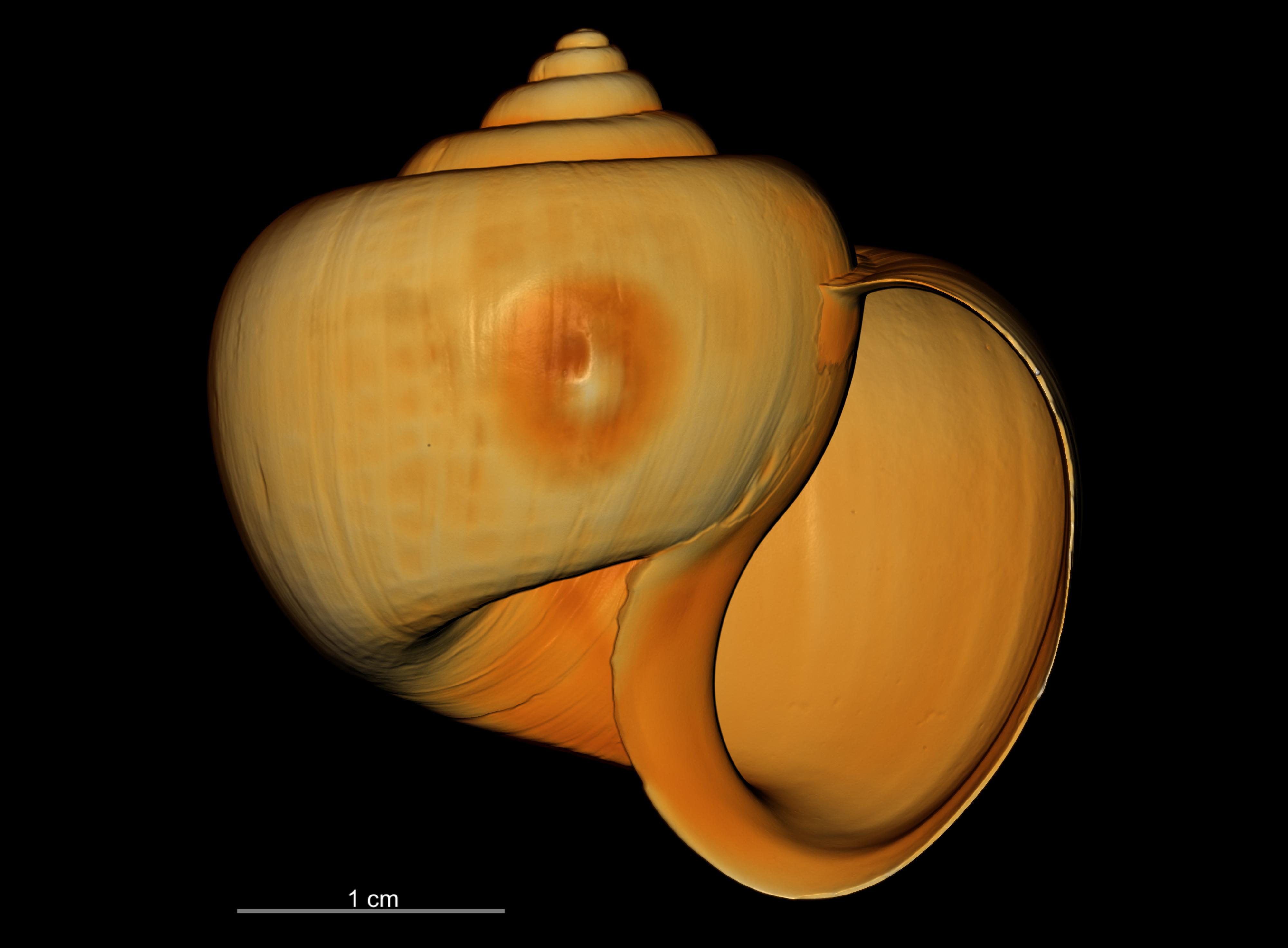 BE-RBINS-INV SYNTYPE MT.3849/1 Ampullaria puntaplaya bulk ORAL MCT RX.jpg