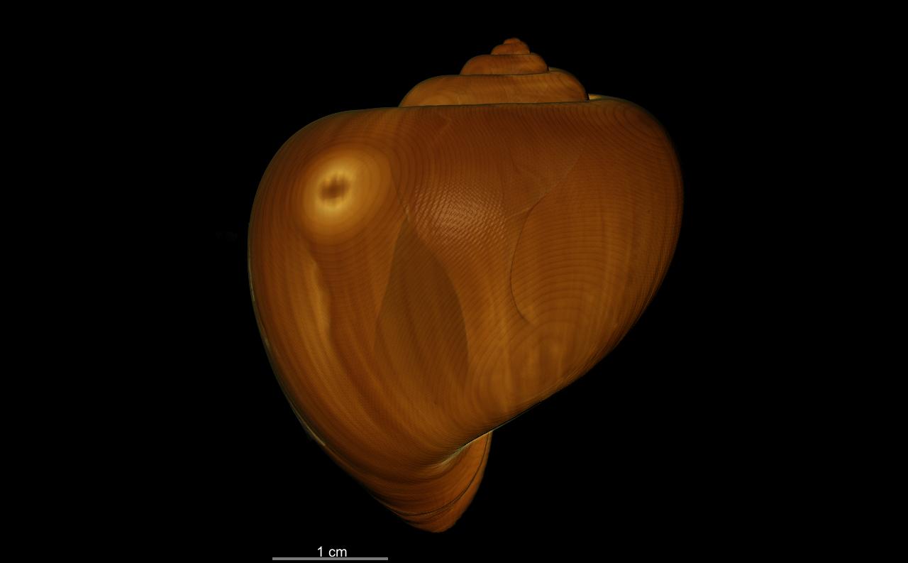 BE-RBINS-INV SYNTYPE MT.3849/3 Ampullaria puntaplaya bulk ANTI ORAL MCT RX.jpg