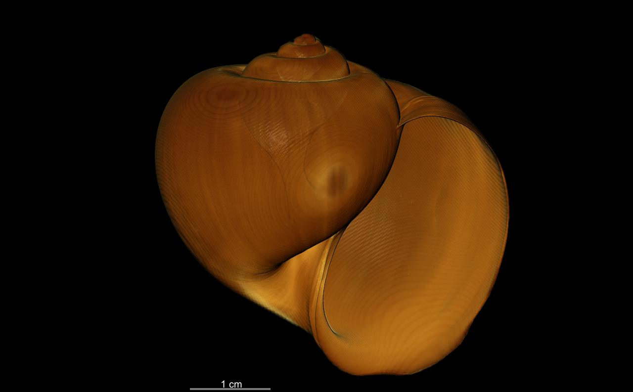 BE-RBINS-INV SYNTYPE MT.3849/3 Ampullaria puntaplaya bulk ORAL MCT RX.jpg