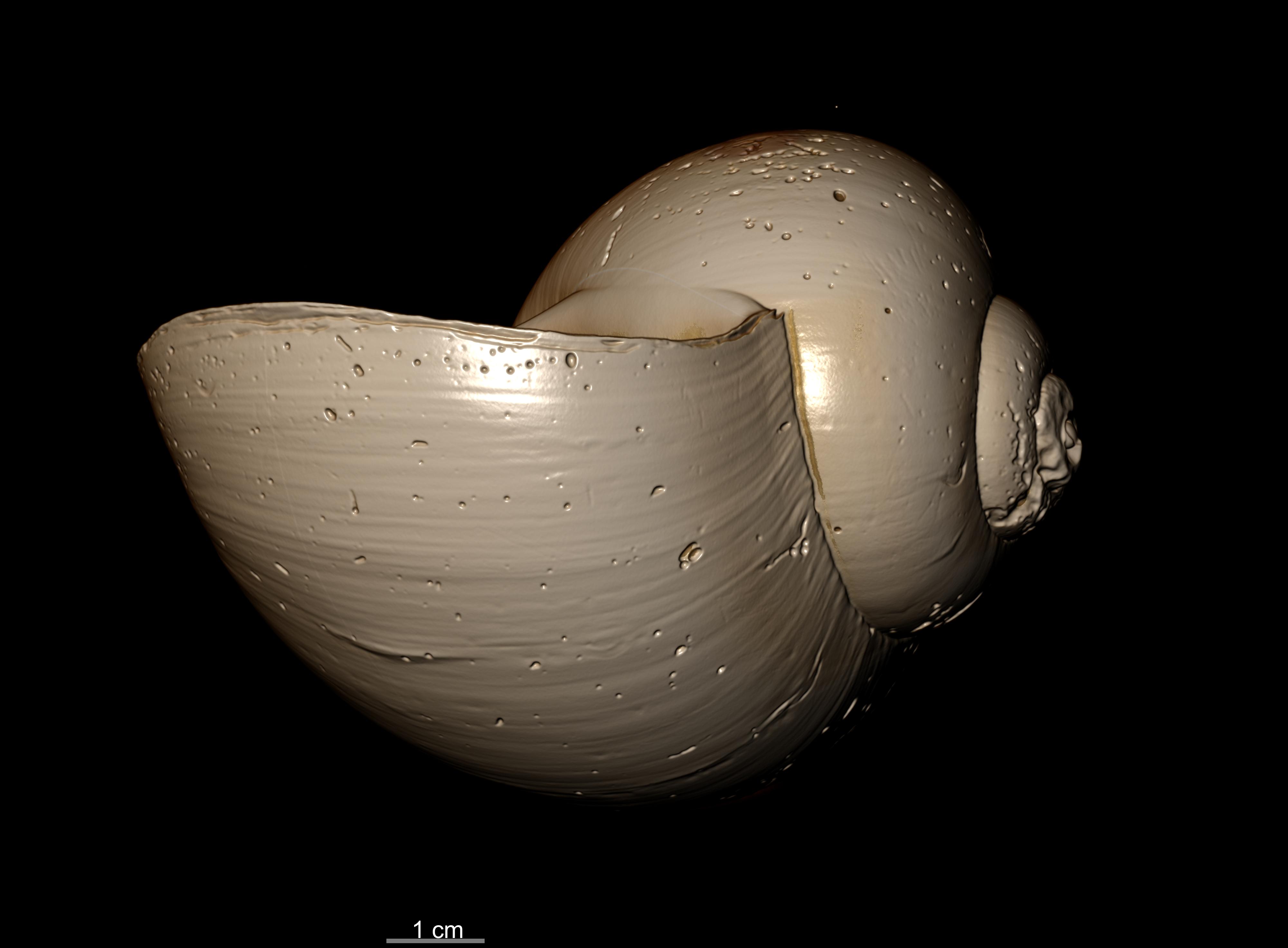 BE-RBINS-INV SYNTYPE MT.3849/4 Ampullaria puntaplaya bulk PROFILE MCT RX.jpg