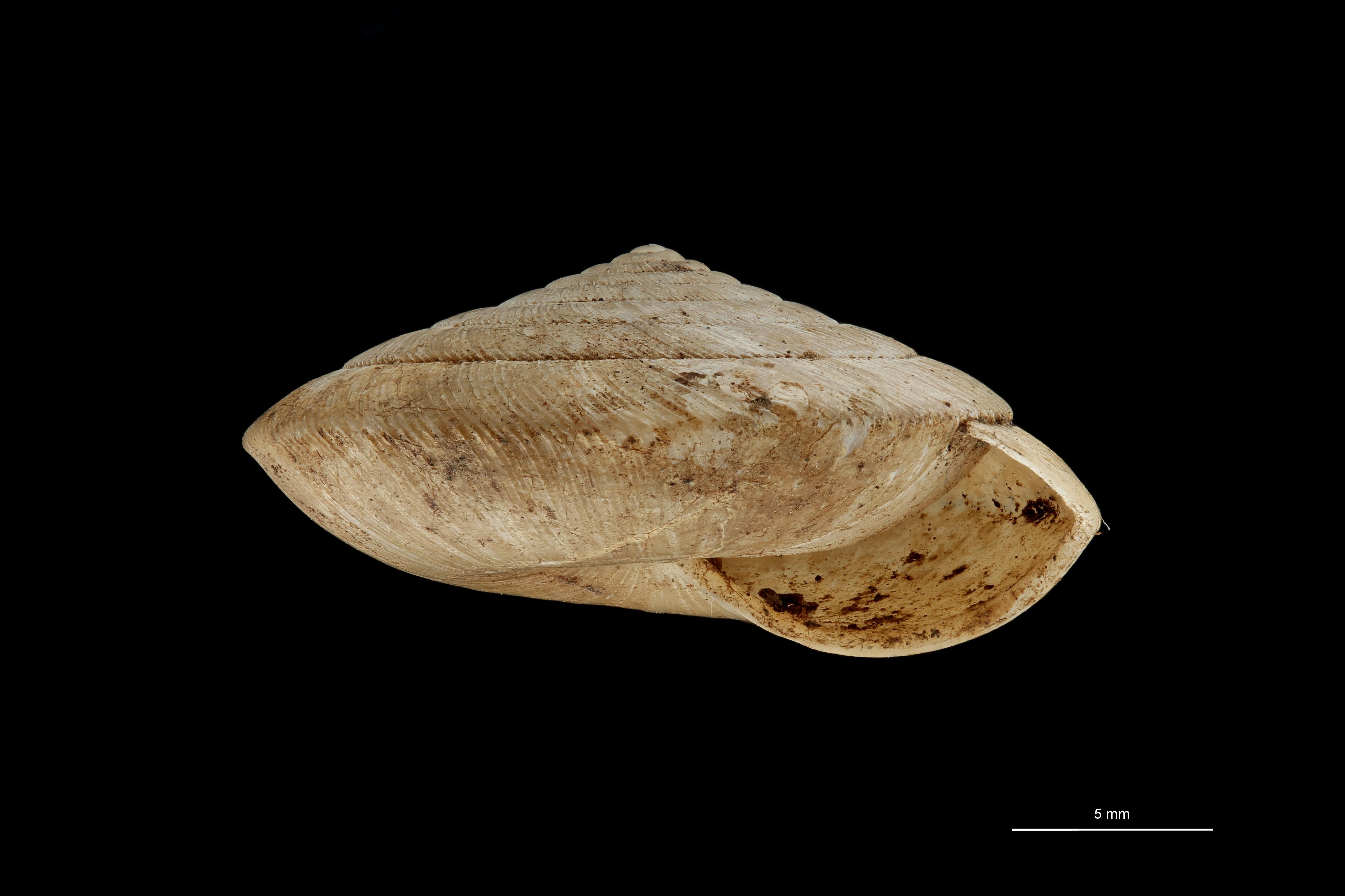 BE-RBINS-INV TYPE MT 689 Khasiella rosenbergiana LATERAL ZS PMax Scaled.jpg