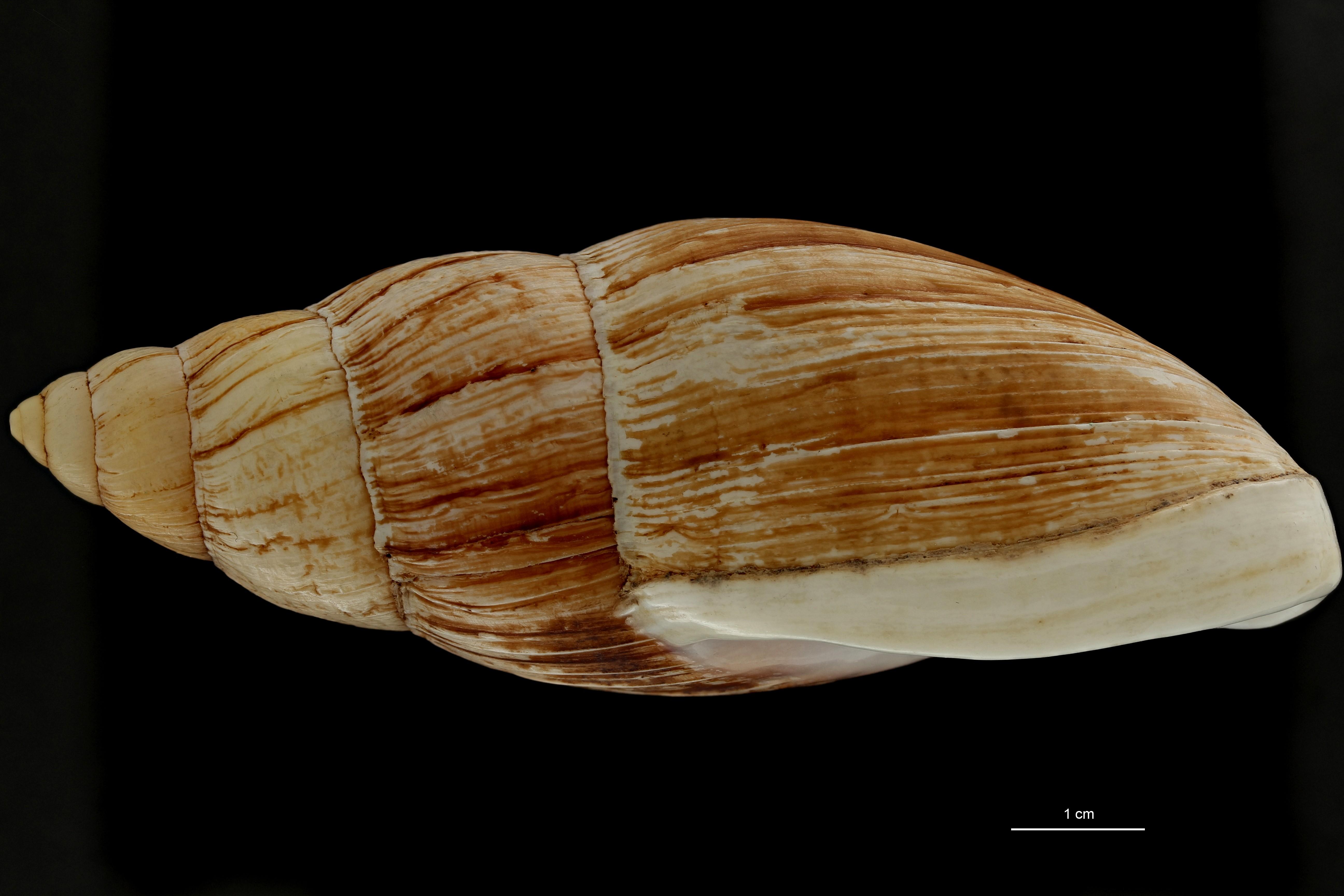 BE-RBINS-INV MT 702 Placostylus porphyrostomus var. elata Type L ZS PMax Scaled.jpg