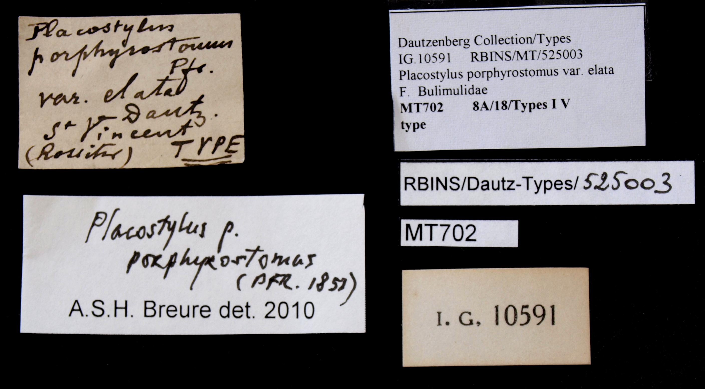 0702 Placostylus porphyrostomus var. elata Type Lb.jpg