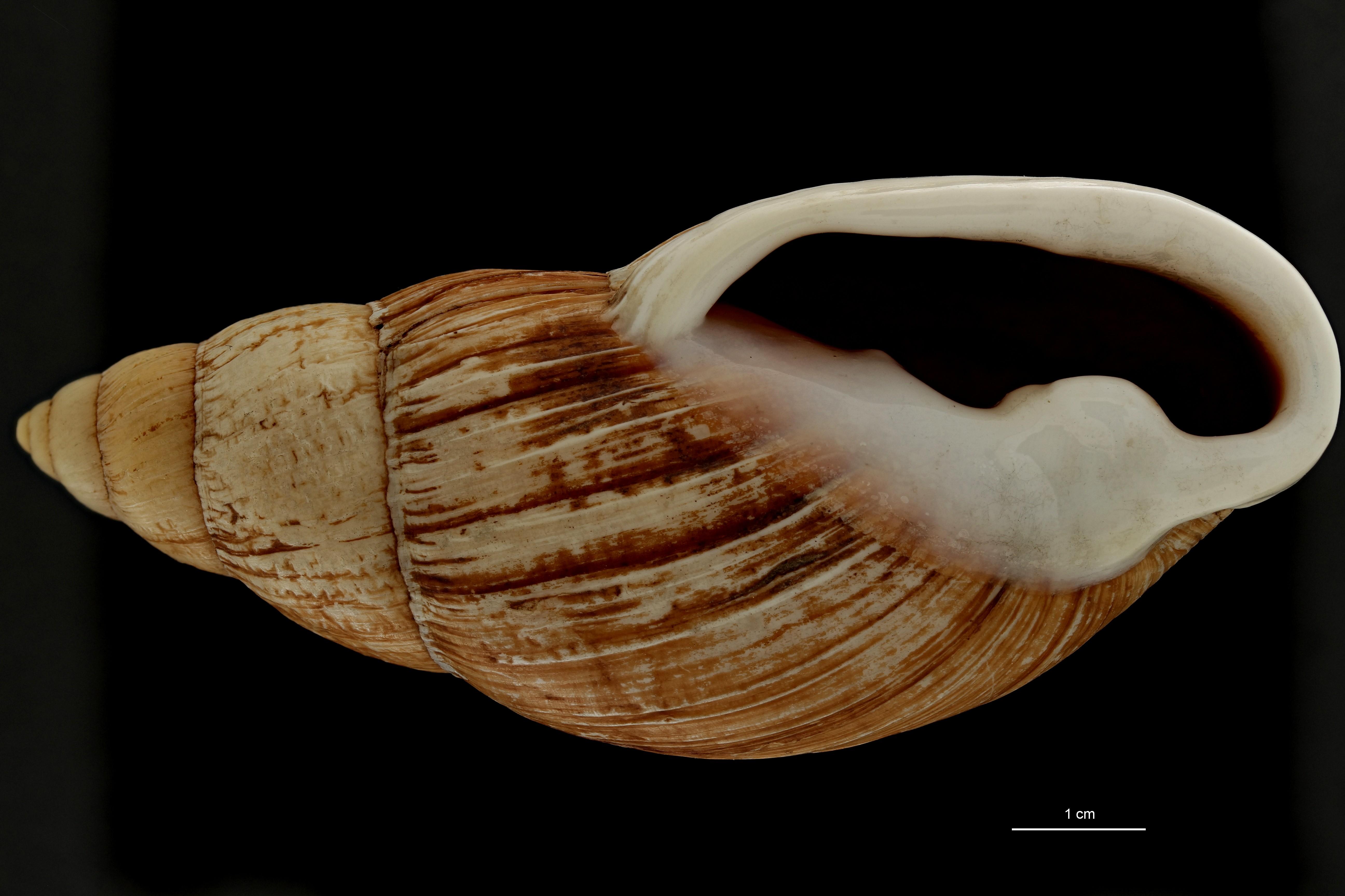 BE-RBINS-INV MT 702 Placostylus porphyrostomus var. elata Type V ZS PMax Scaled.jpg