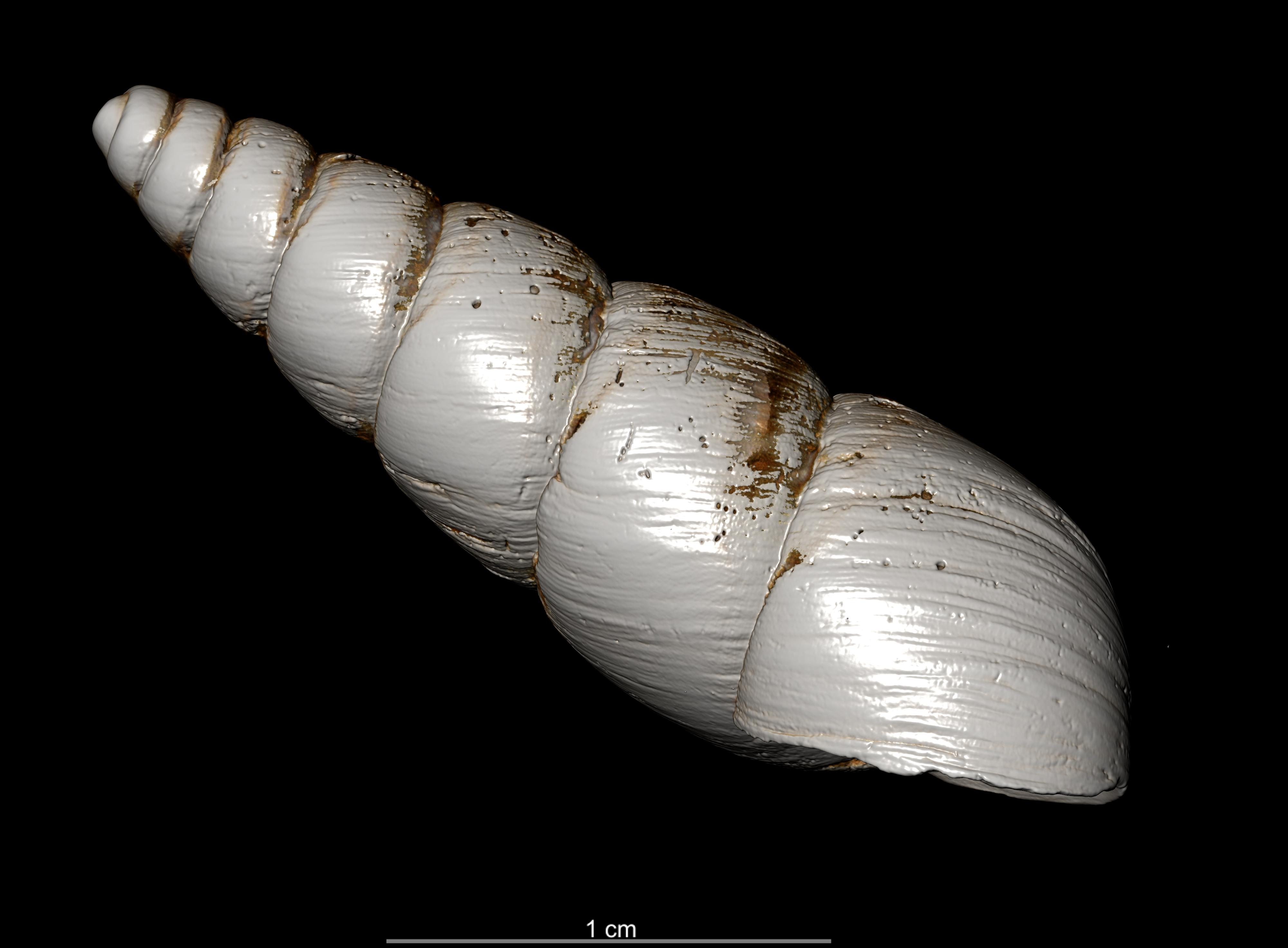 BE-RBINS-INV PARALECTOTYPE MT 2348 Bulimulus (Protoglyptus) dejectus MCT XRE RIGHT.jpg