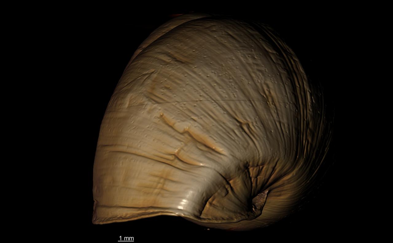 BE-RBINS-INV SYNTYPE MT 2365 Drymaeus nystianus var. lutea ANTERIOR MICROCT RX.jpg