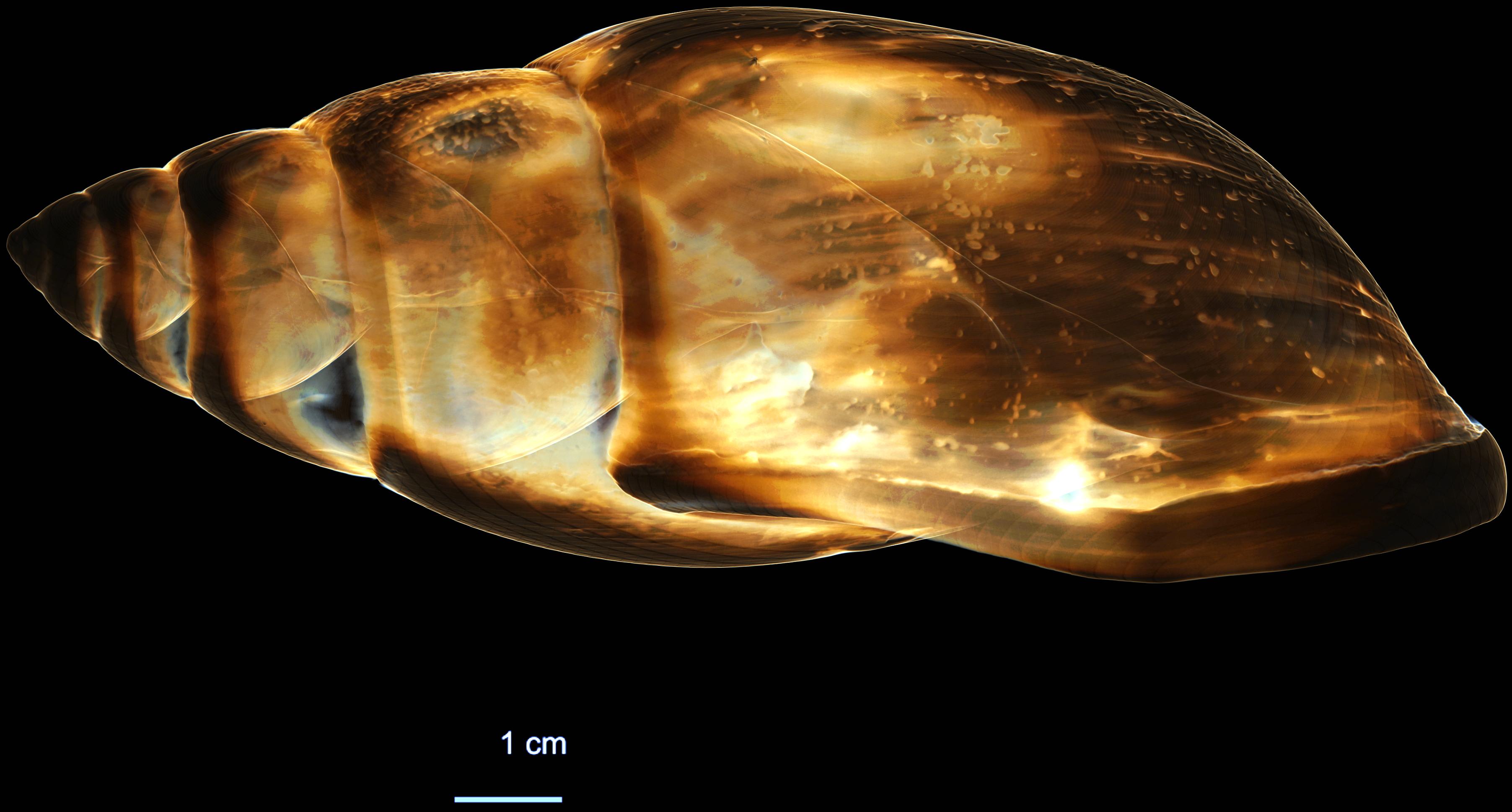 BE-RBINS-MT-697-Placostylus-albersi-obliquata-RIGHT.jpg