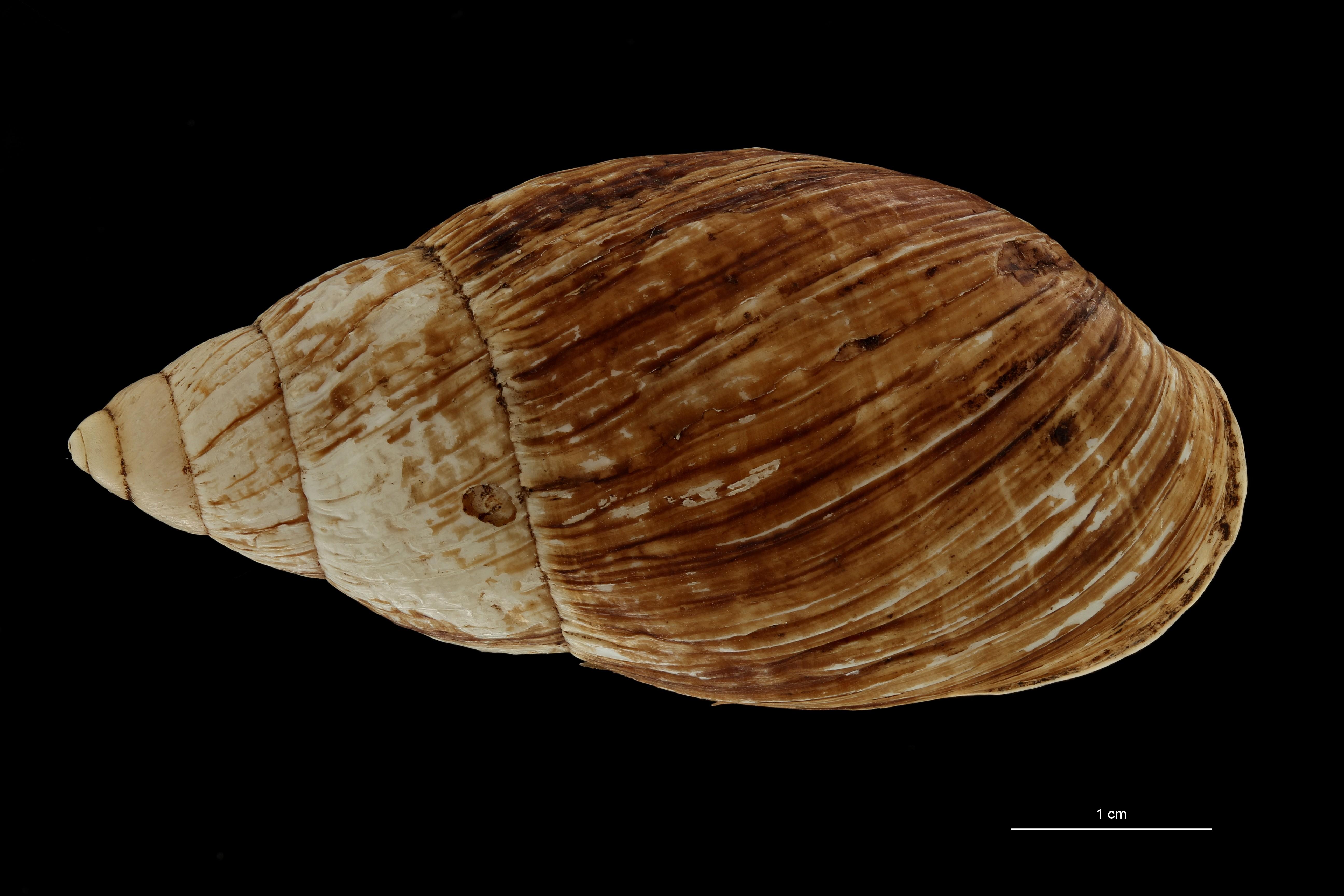 BE-RBINS-INV MT 703 Placostylus porphyrostomus var. nana Type D ZS PMax Scaled.jpg