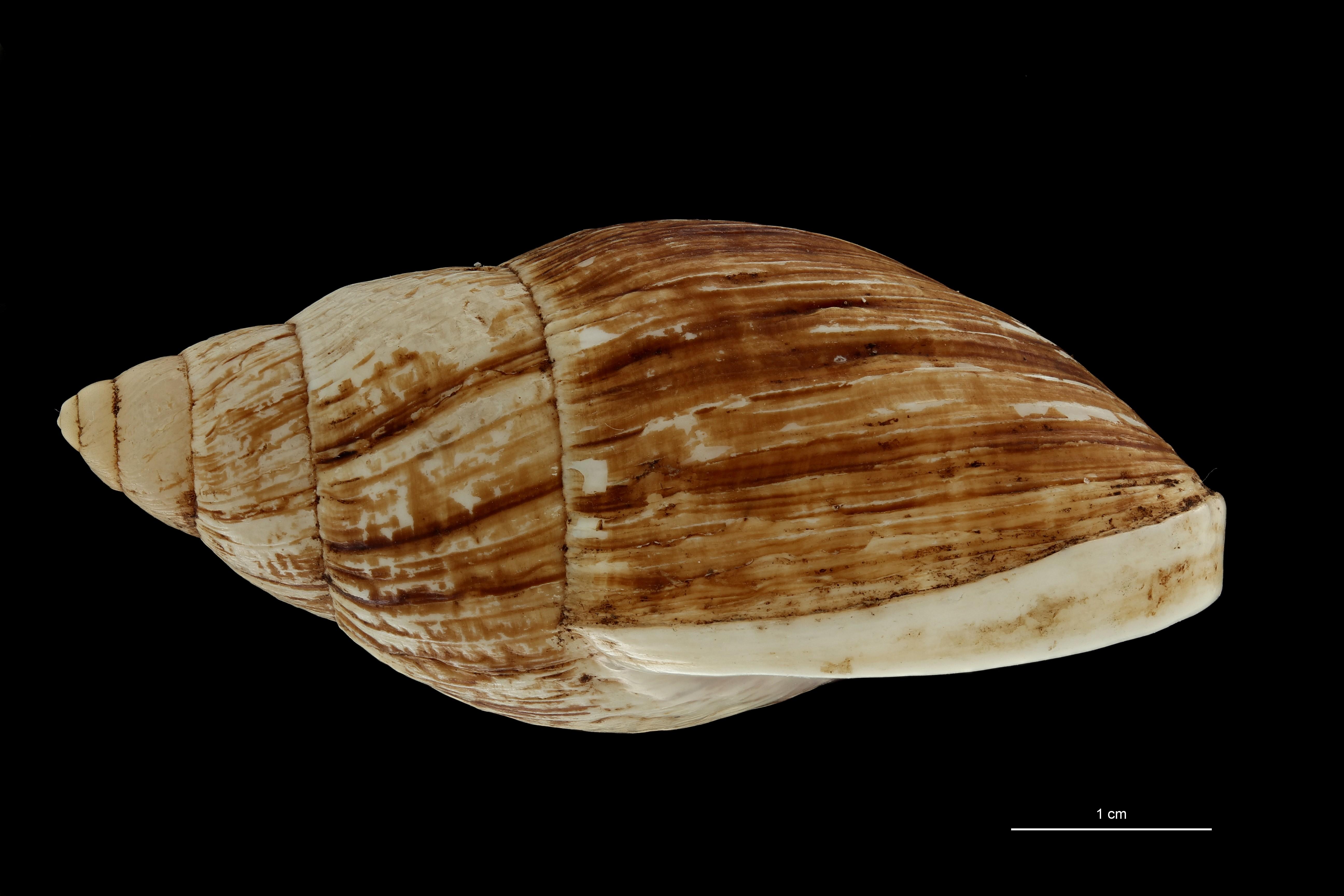 BE-RBINS-INV MT 703 Placostylus porphyrostomus var. nana Type L ZS PMax Scaled.jpg