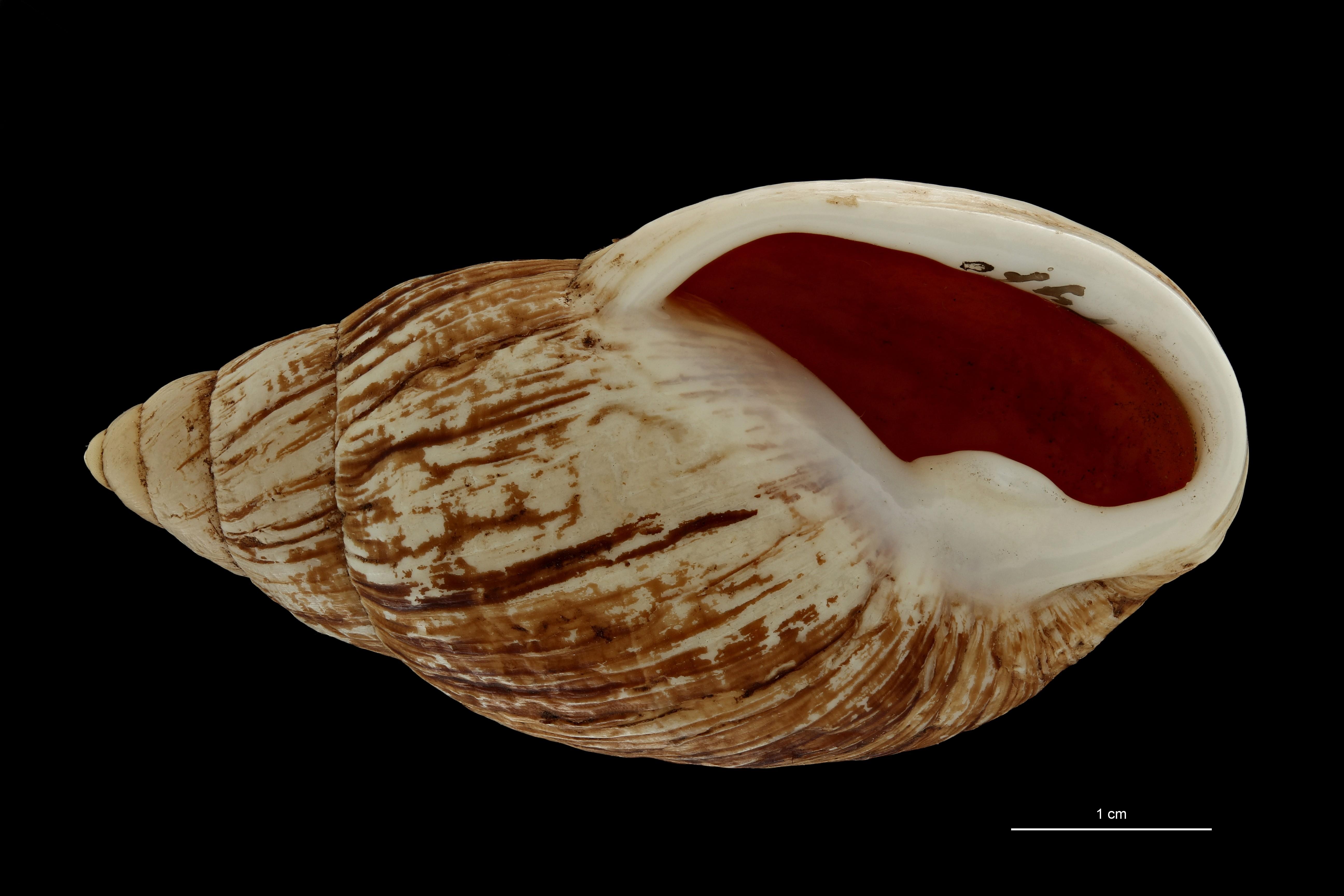 BE-RBINS-INV MT 703 Placostylus porphyrostomus var. nana Type V ZS PMax Scaled.jpg