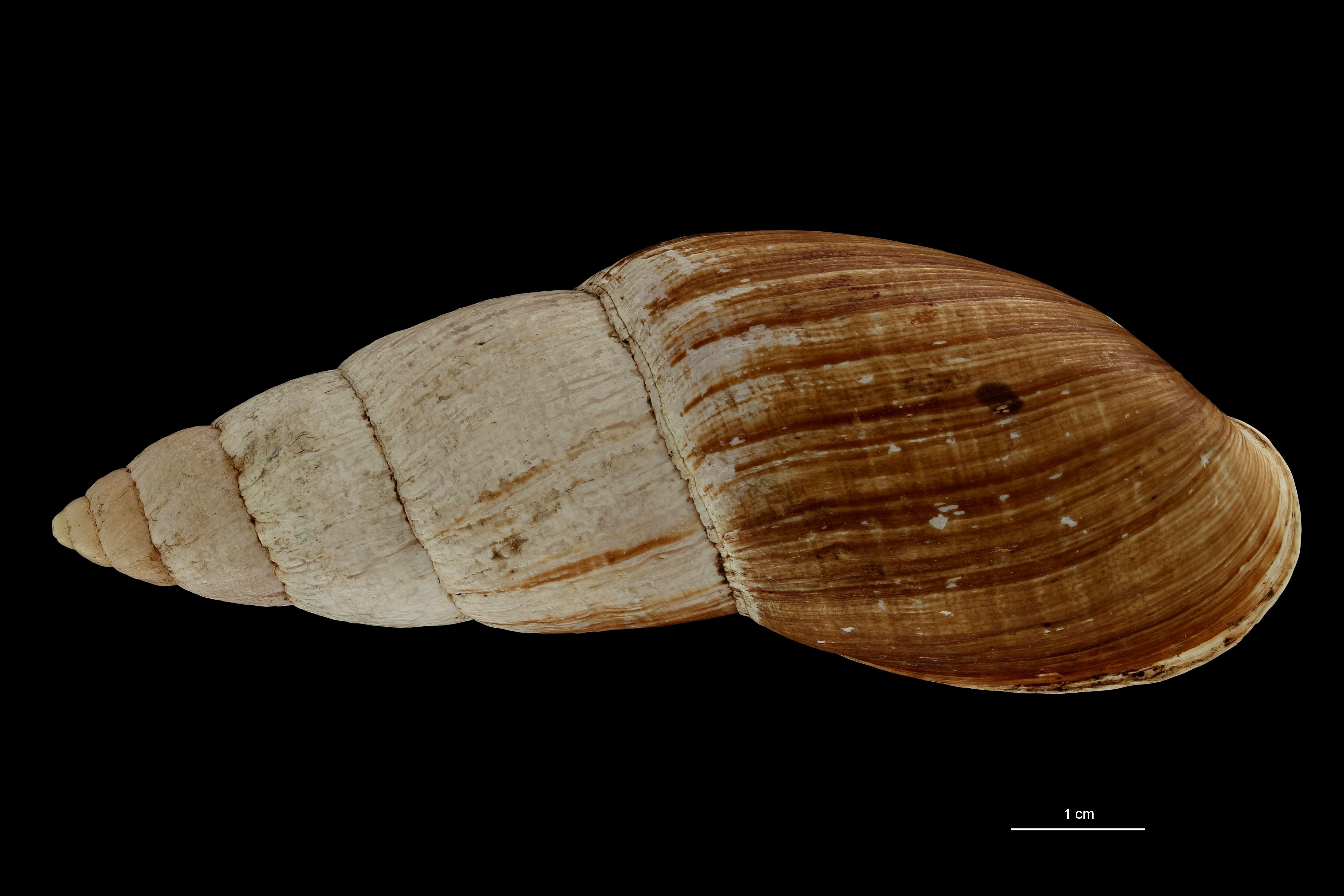 BE-RBINS-INV TYPE MT 705 Placostylus porphyrostomus var. perlonga DORSAL ZS PMax Scaled.jpg