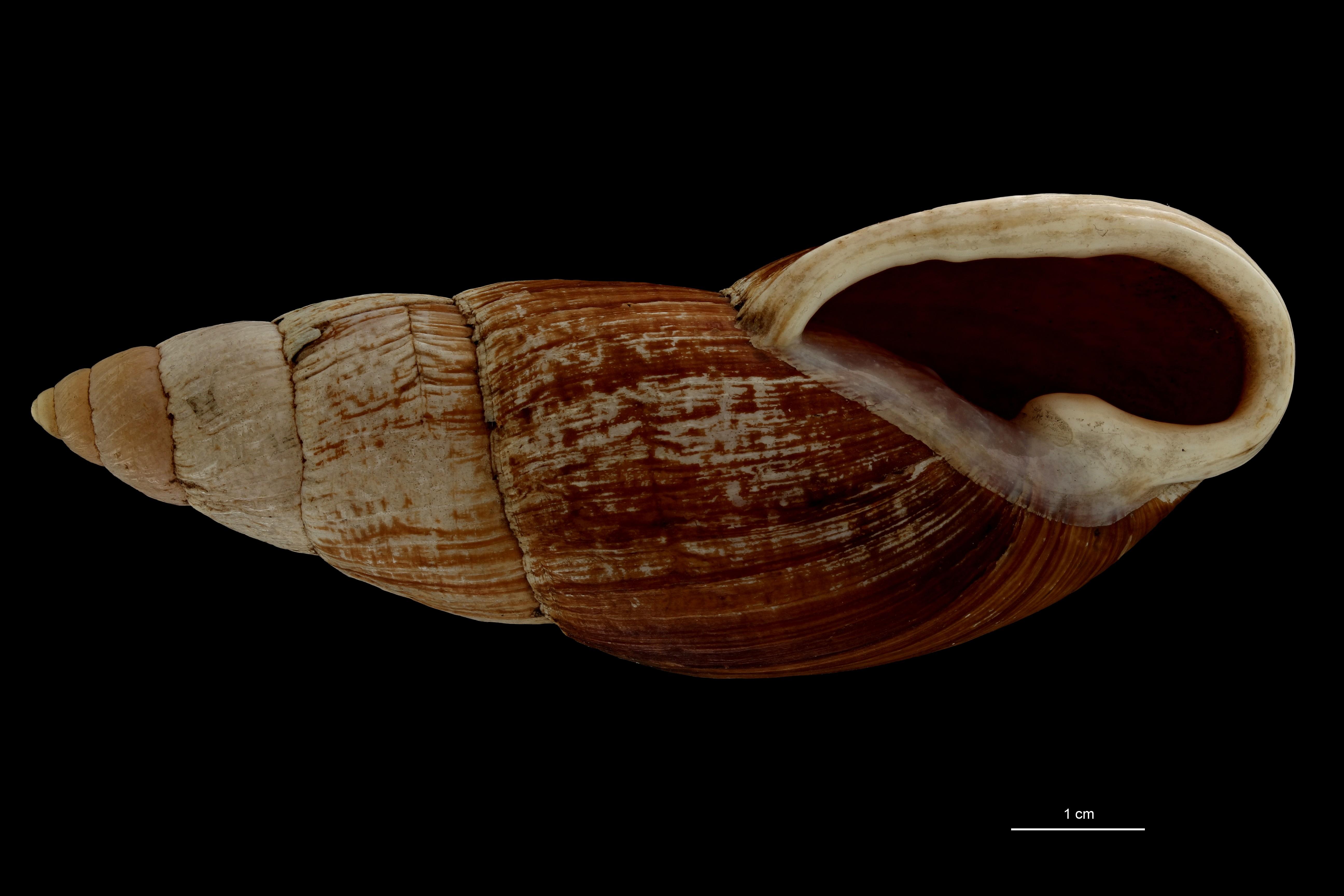0705 Placostylus porphyrostomus var perlonga Typ V ZS PMax Scaled.jpg