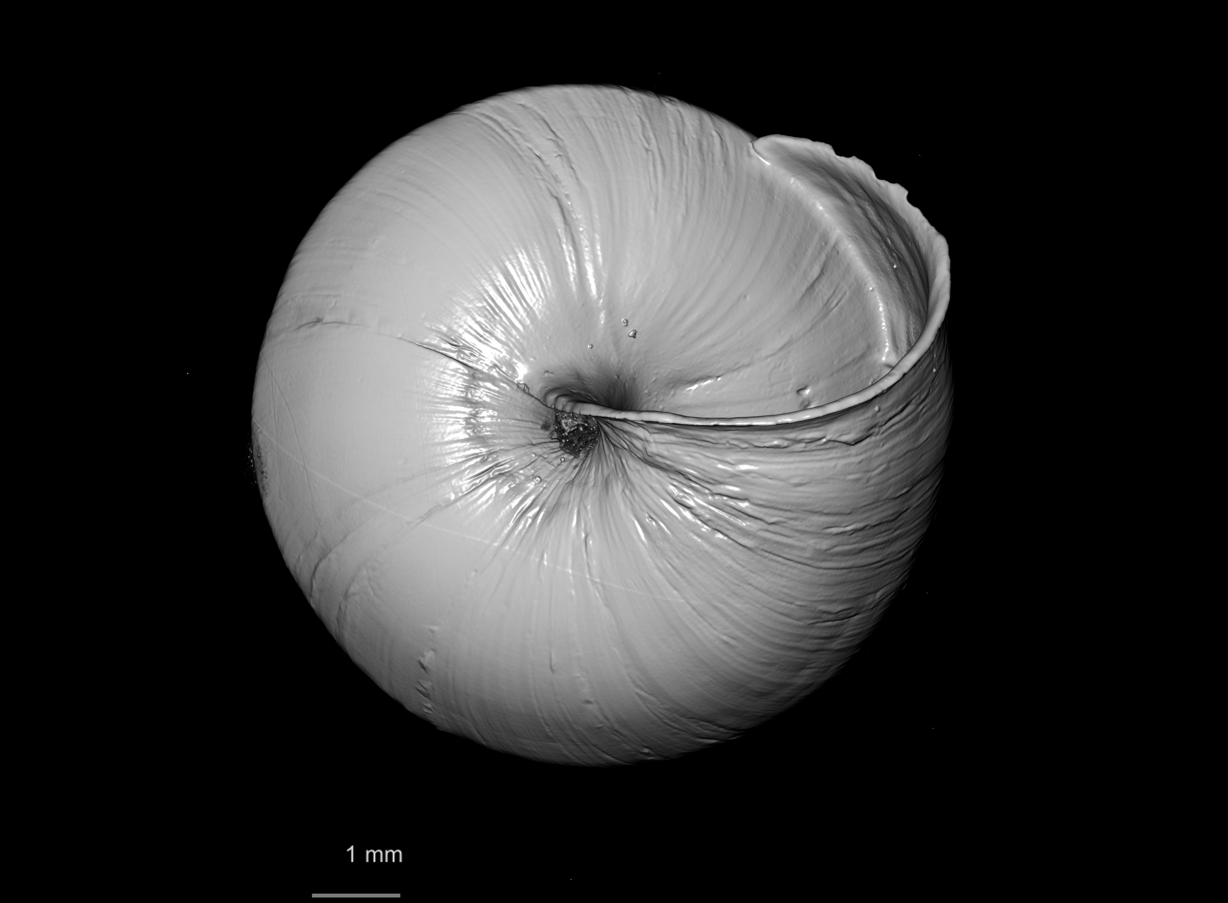 BE-RBINS-INV PARATYPE MT 2431 Helix (Buliminopsis) substraminea var. minor MCT XRE BOTTOM.jpg