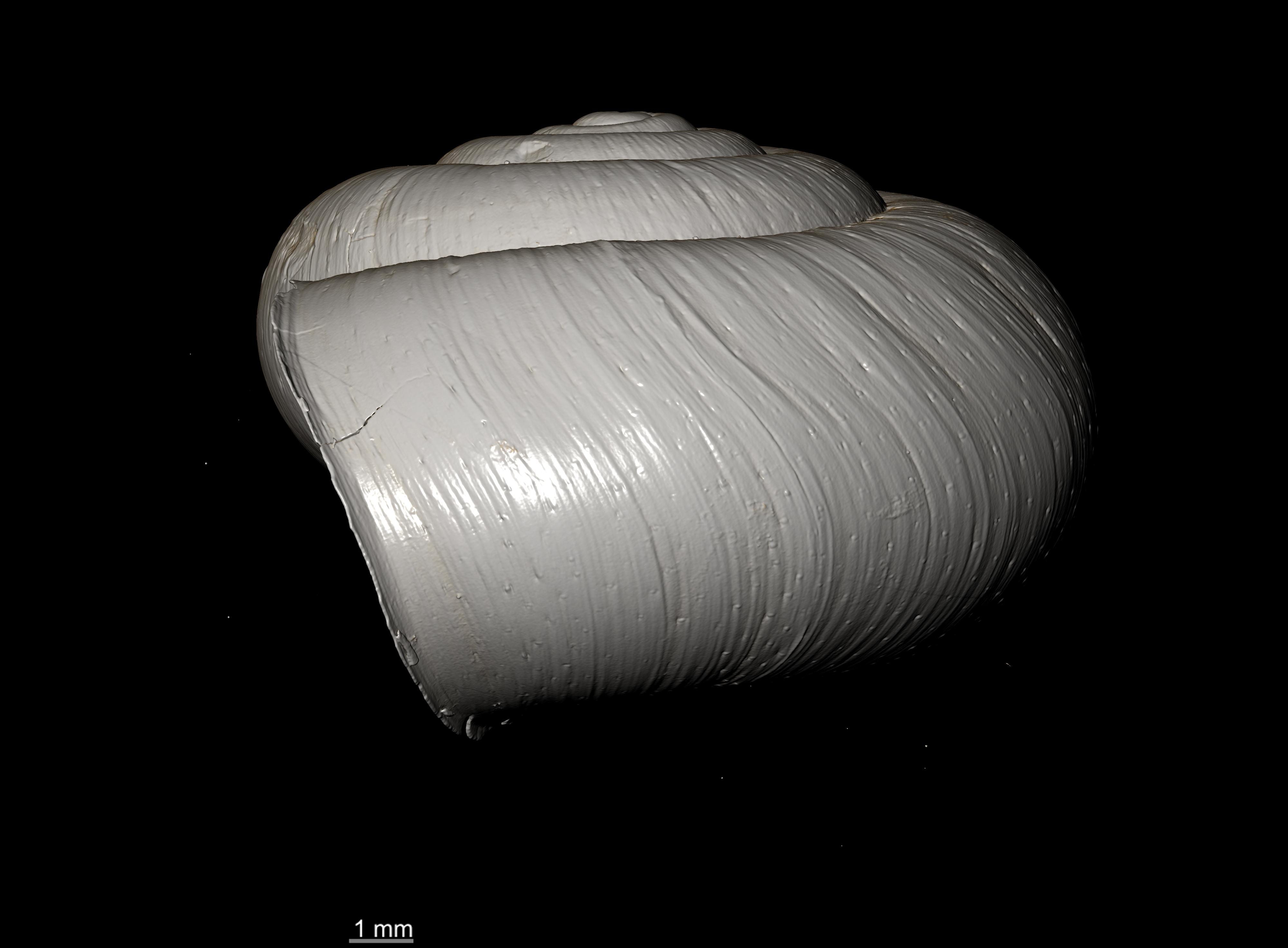 BE-RBINS-INV SYNTYPE MT 2423 Helix (Chloritis) pseudomiarabe  var. minor PROFILE.jpg