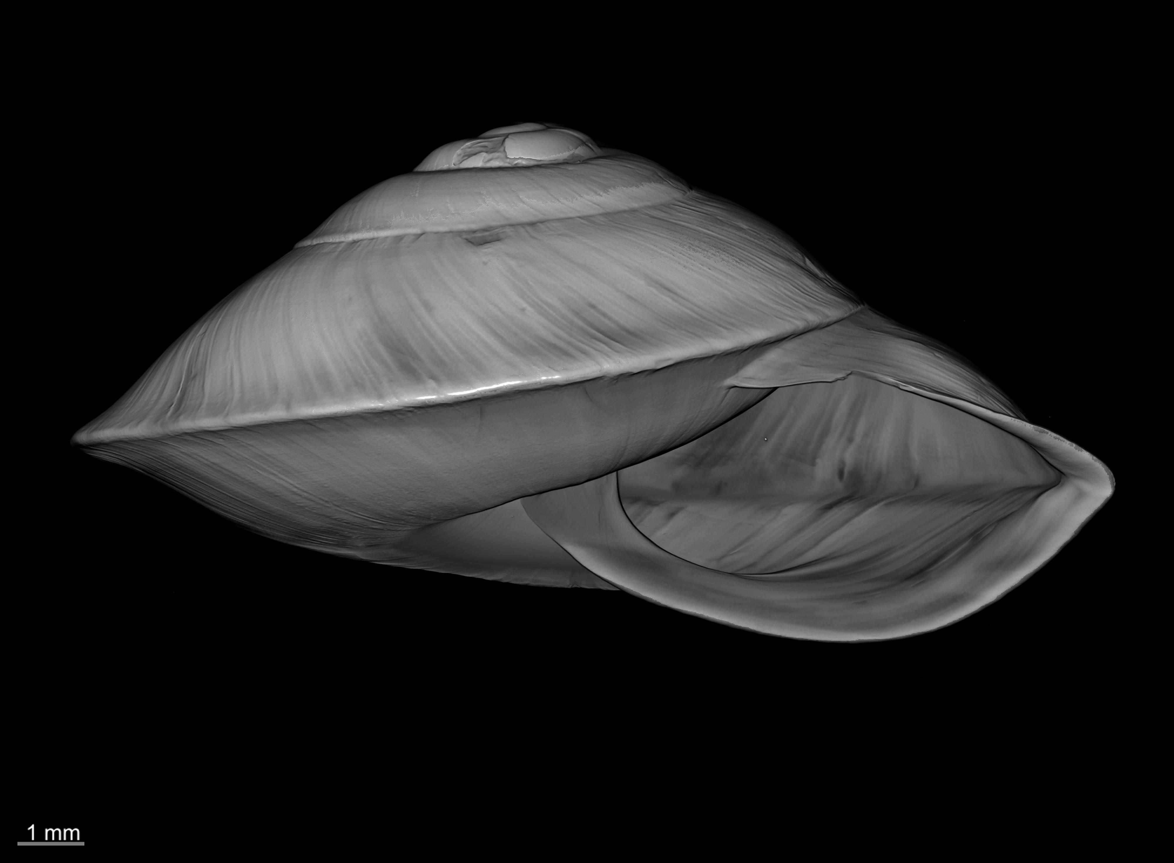BE-RBINS-INV SYNTYPE MT 2428 Helix (Ganesella) saurivonga var. depressa MCT XRE ORAL.jpg