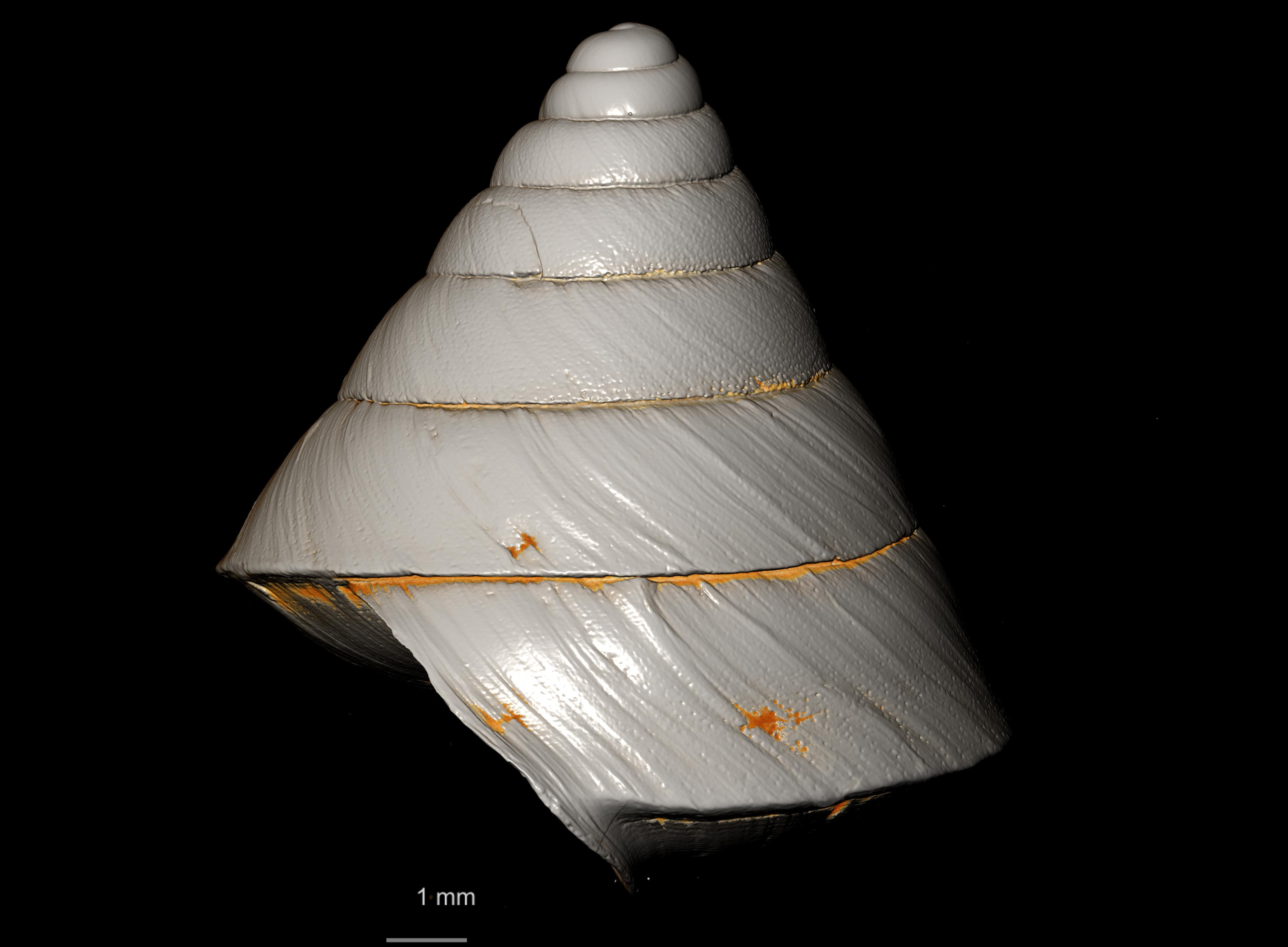 BE-RBINS-INV-TYPES-MT-2467-Helix-acris-albina-MCT-XRE-PROFILE-2.jpg