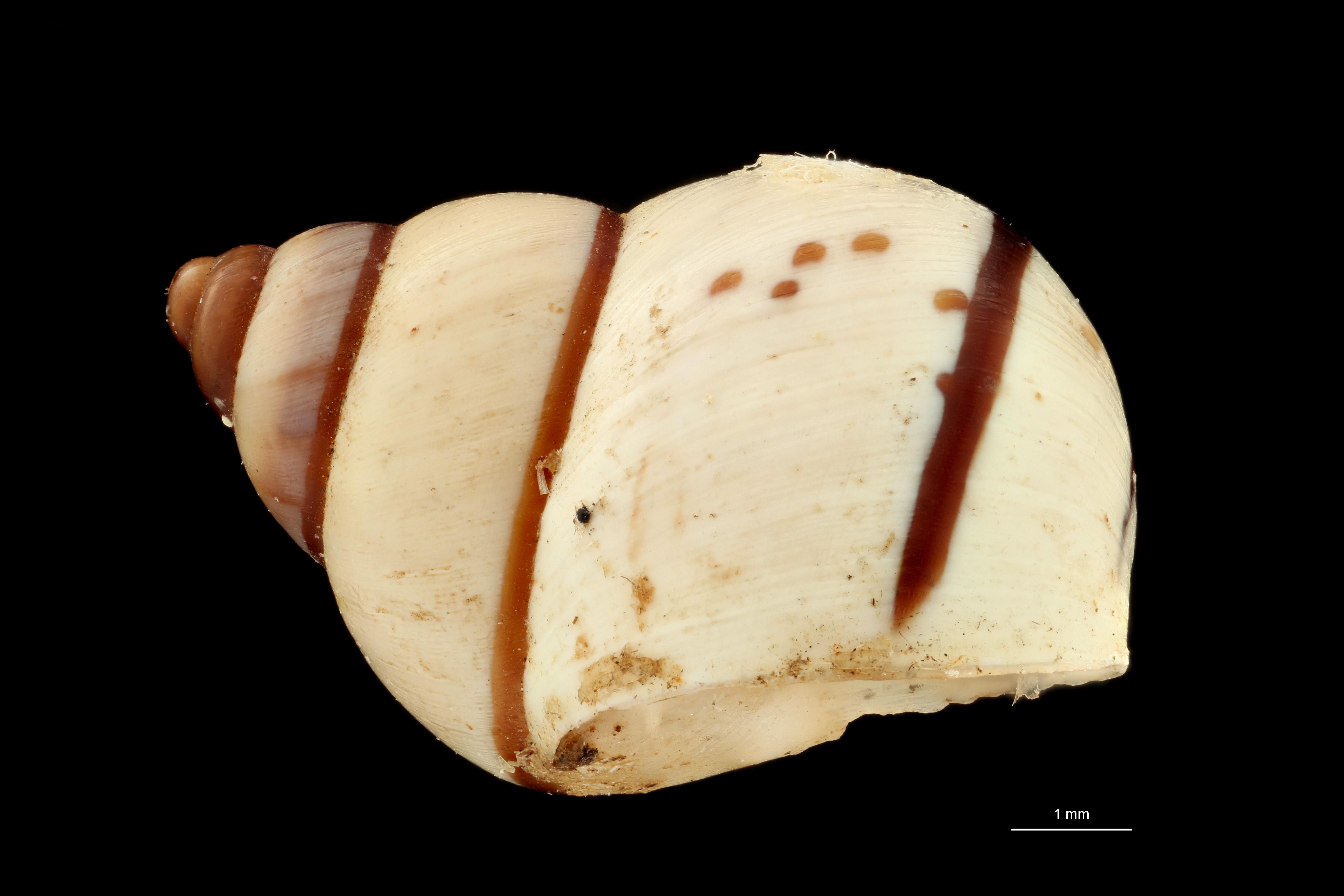 BE-RBINS-INV MT 650 Pachnodus sesamorum Type L ZS PMax Scaled.jpg