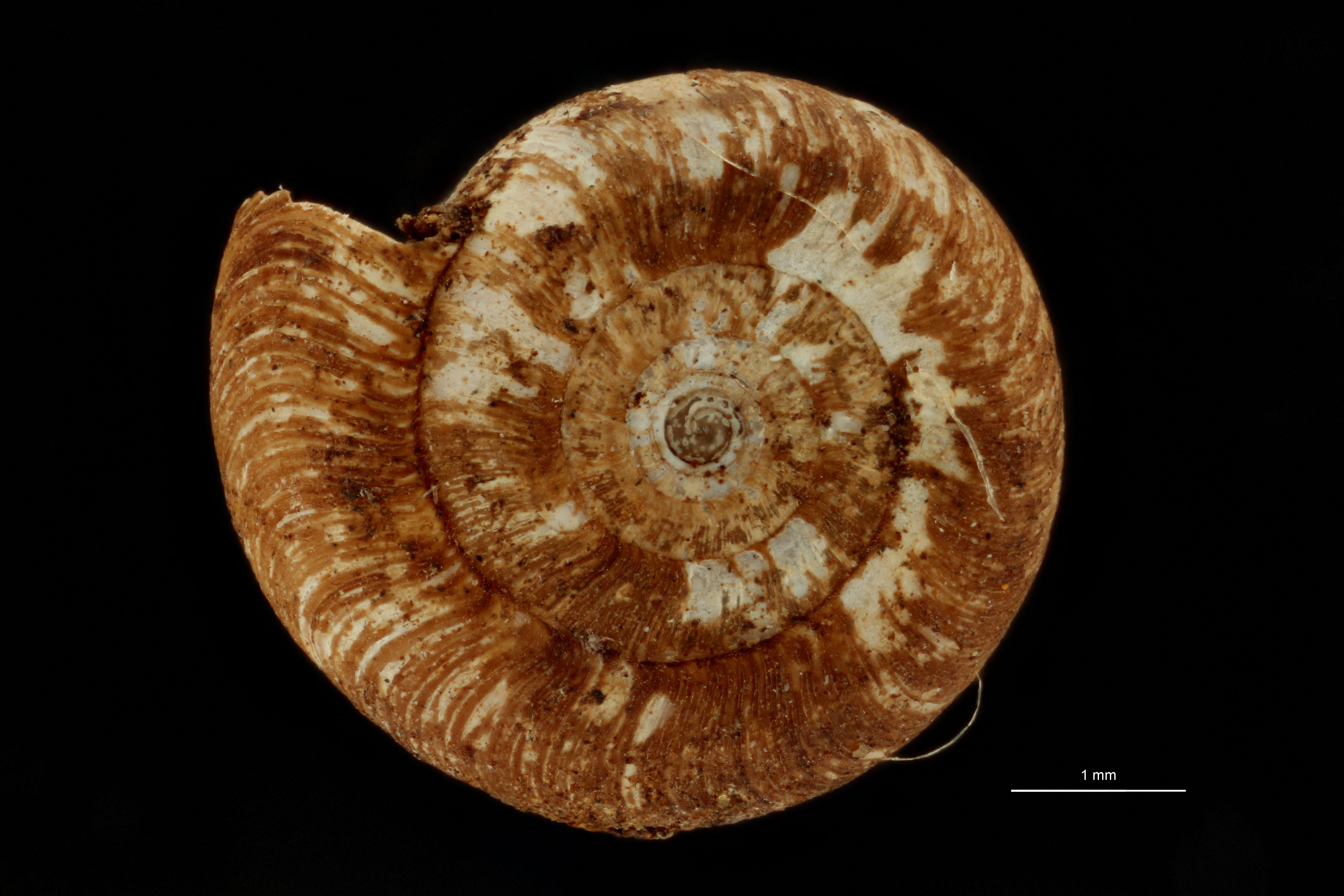 BE-RBINS-INV MT.3690 Flammulina (Monomphalus) cerealis st A.jpg