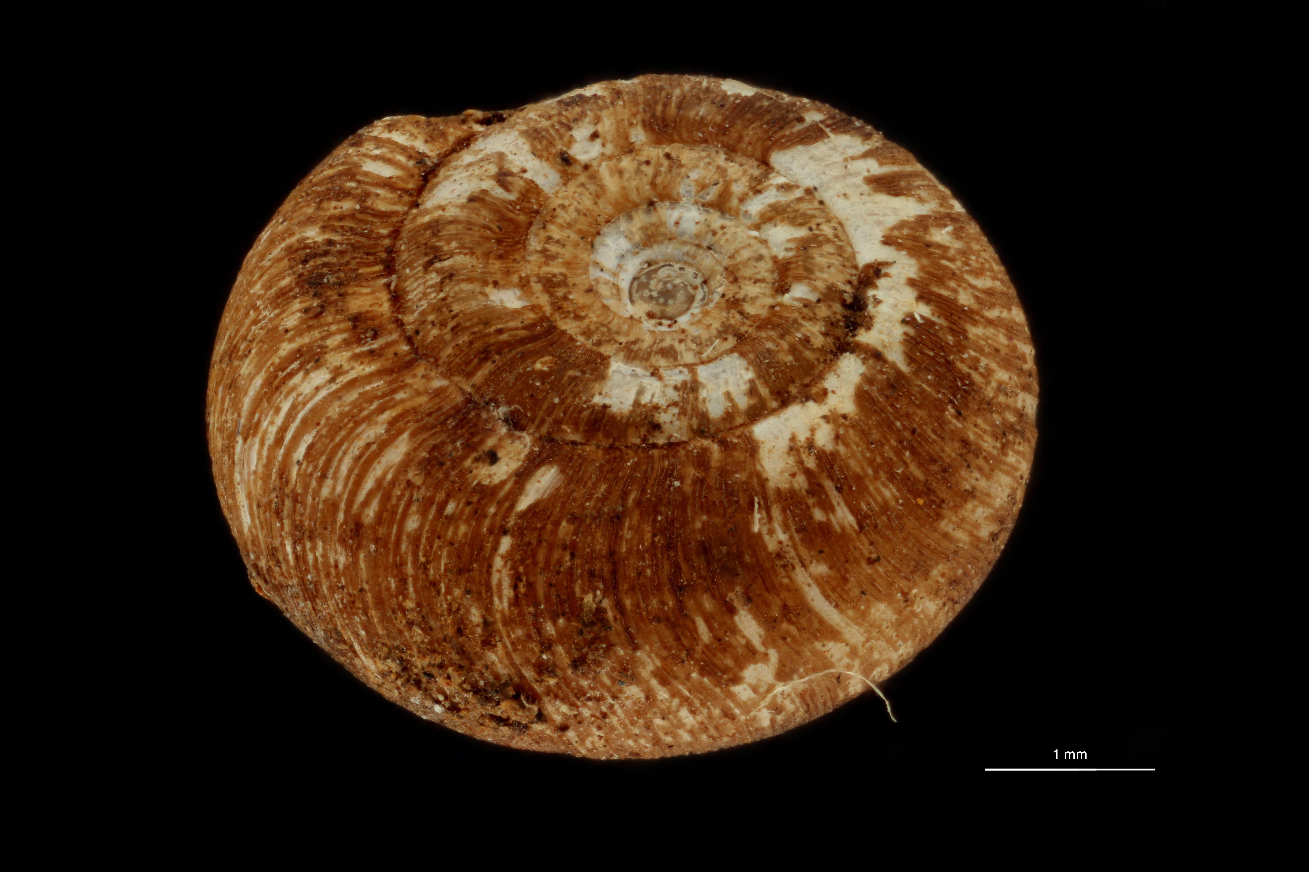 BE-RBINS-INV MT.3690 Flammulina (Monomphalus) cerealis st D.jpg