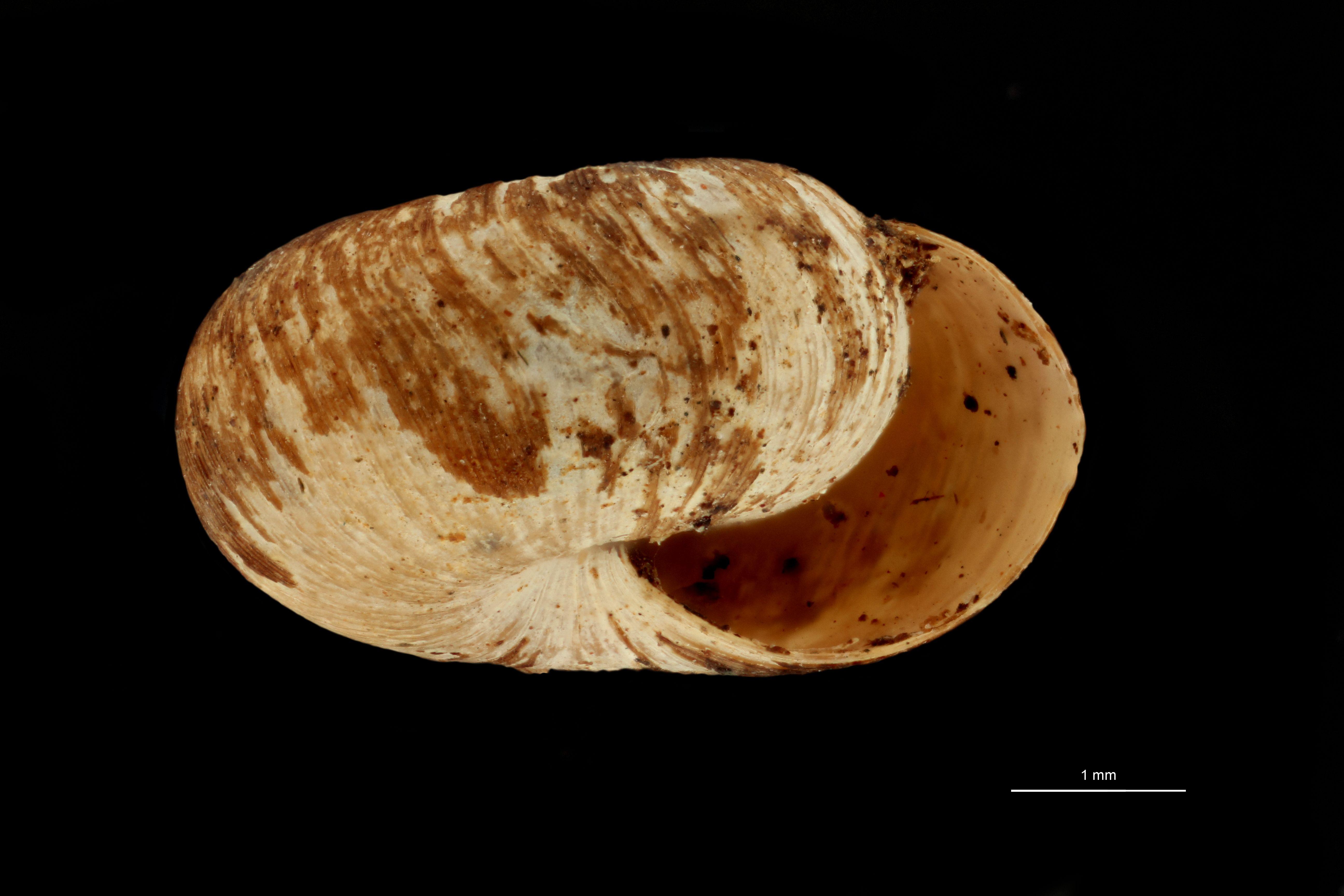 BE-RBINS-INV MT.3690 Flammulina (Monomphalus) cerealis st F.jpg