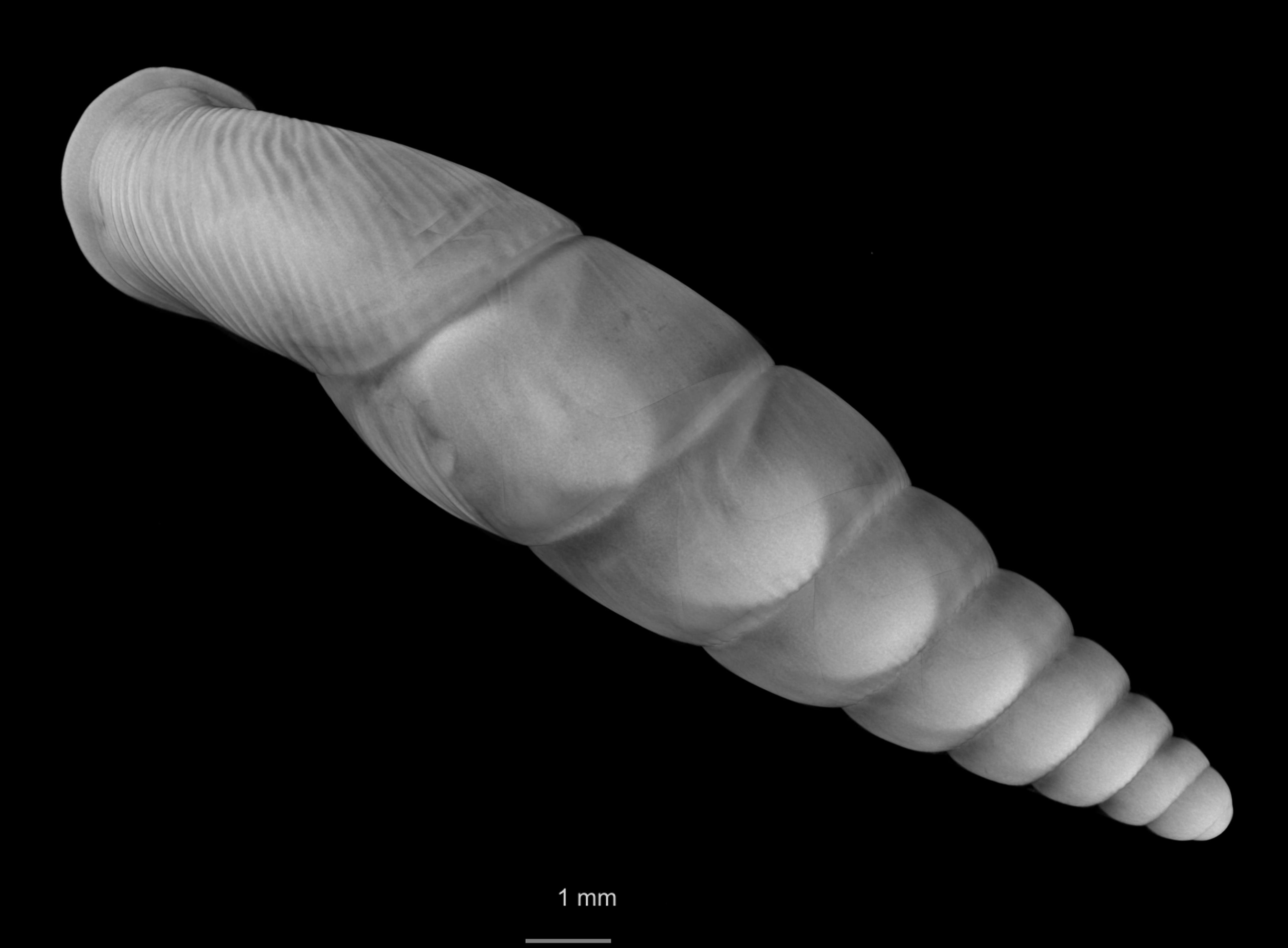 BE-RBINS-INV SYNTYPE MT 2413 Clausilia callistomella MCT XRE DORSAL.jpg