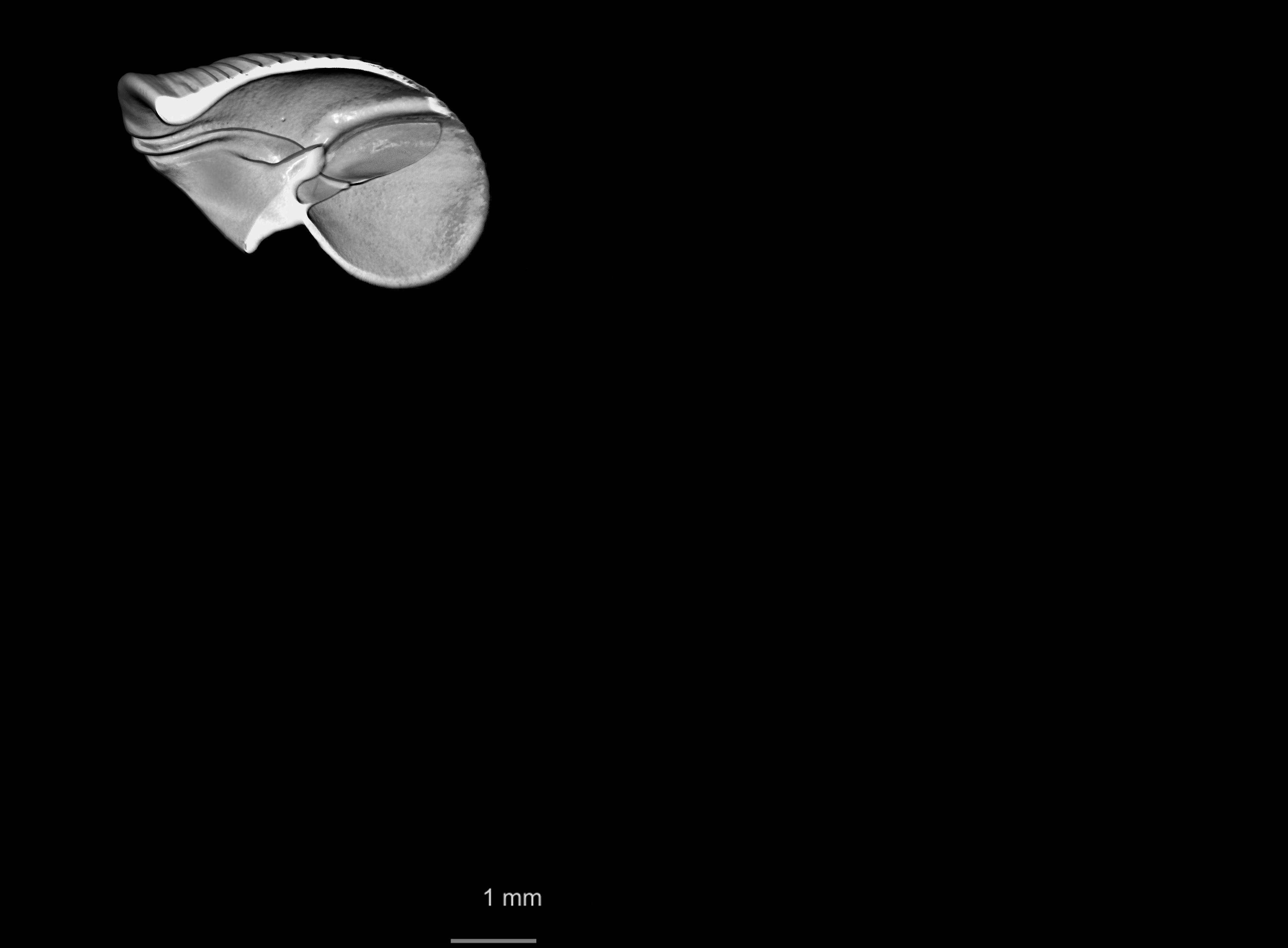 BE-RBINS-INV SYNTYPE MT 2413 Clausilia callistomella MCT XRE CUT.jpg