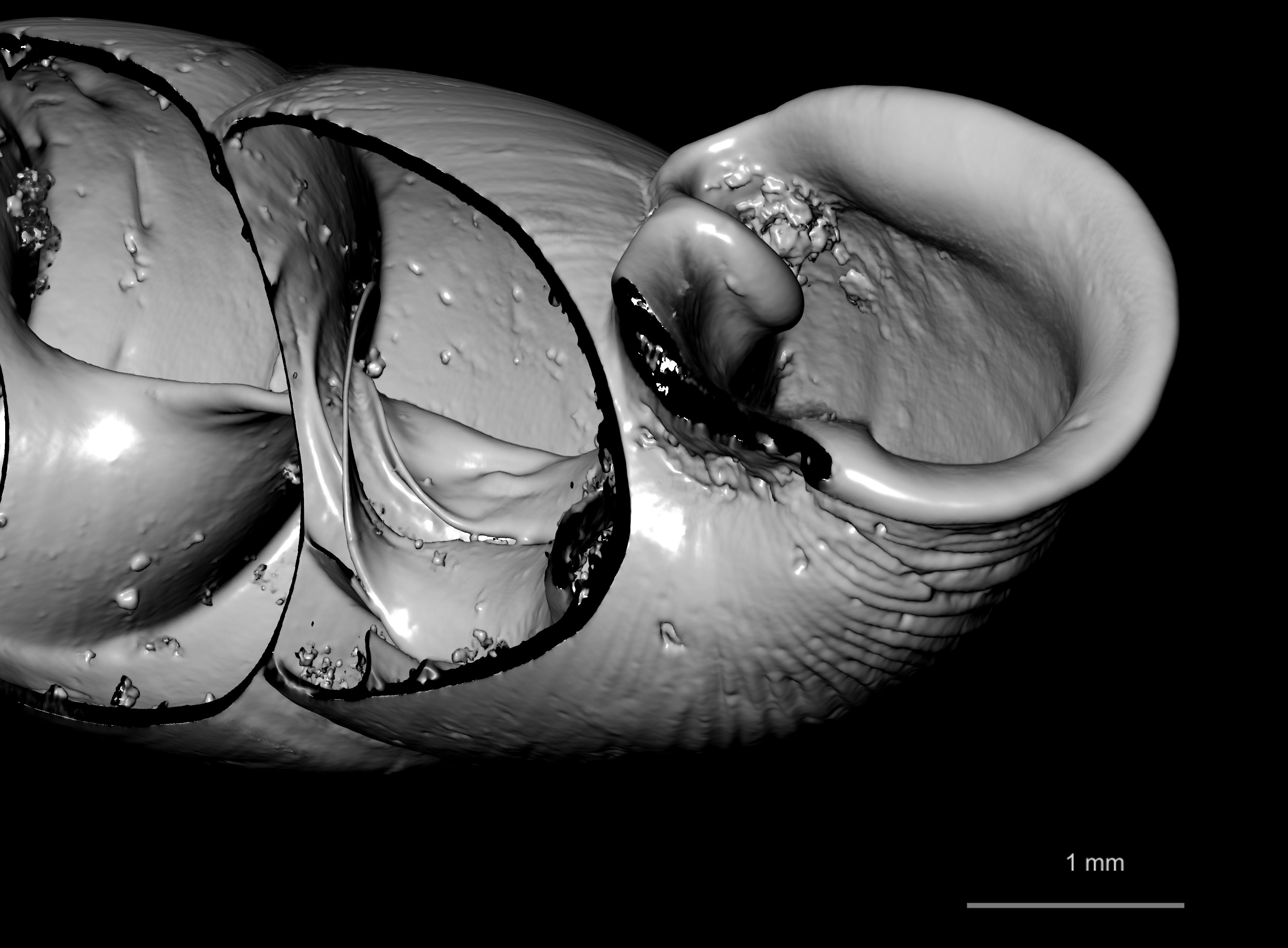 BE-RBINS-INV SYNTYPE MT 2415 Clausilia flaveola CUT MCT XRE.jpg